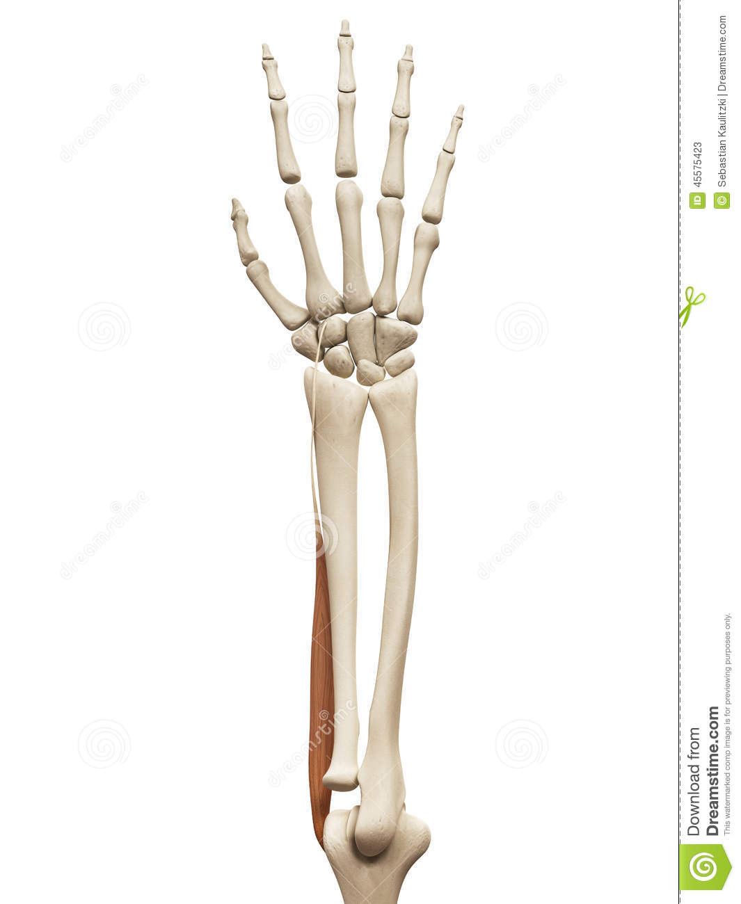 the extensor carpi radialis longus stock illustration illustration
