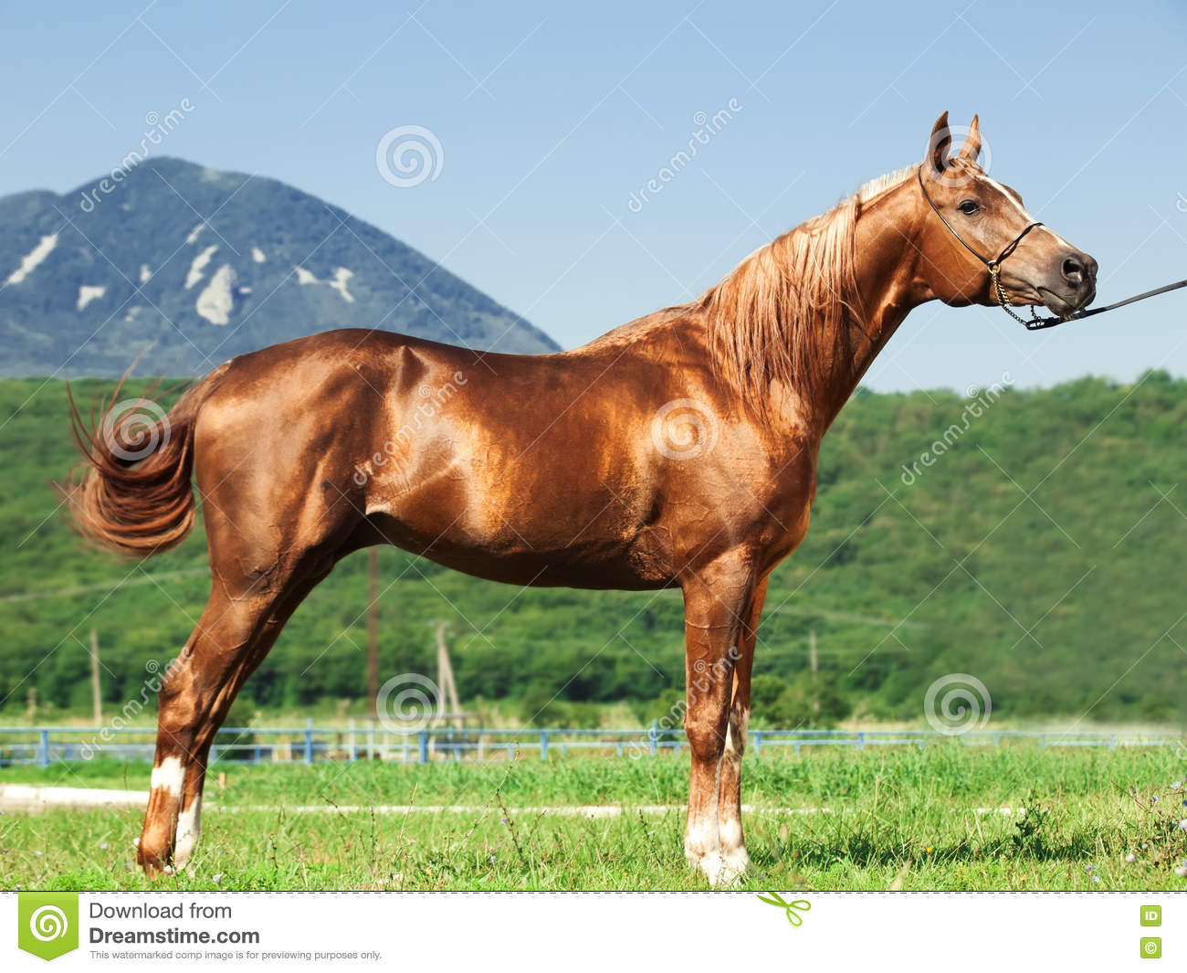 Exterior of arabian chestnut stallion at mountain background
