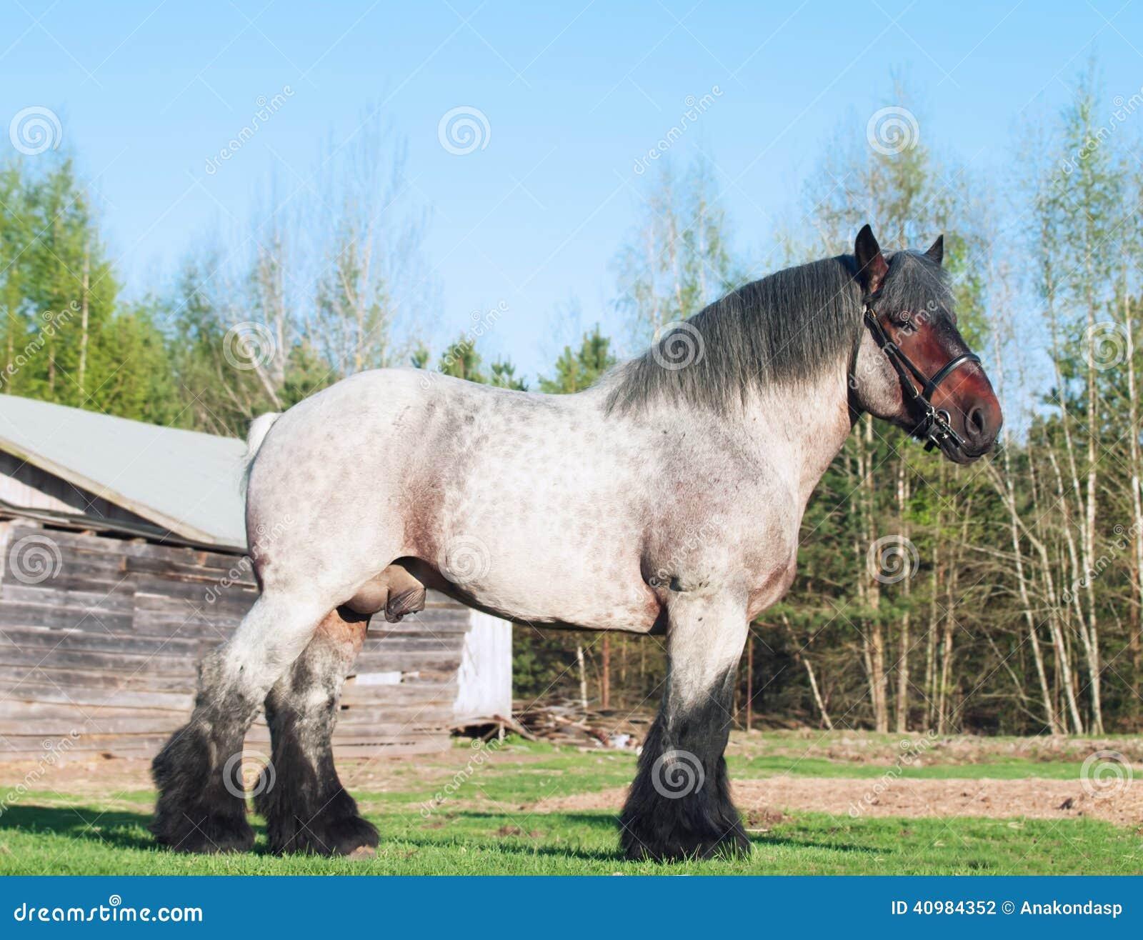Exterior Of Belgian Draught Horse  Stock Photo