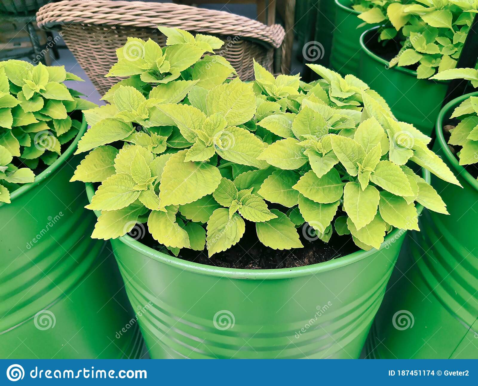 Exterior Design Of The Outdoor Area Of The Restaurant With Green Plants In Green Metallic Barrels Stock Photo Image Of Lifestyle Botanical 187451174