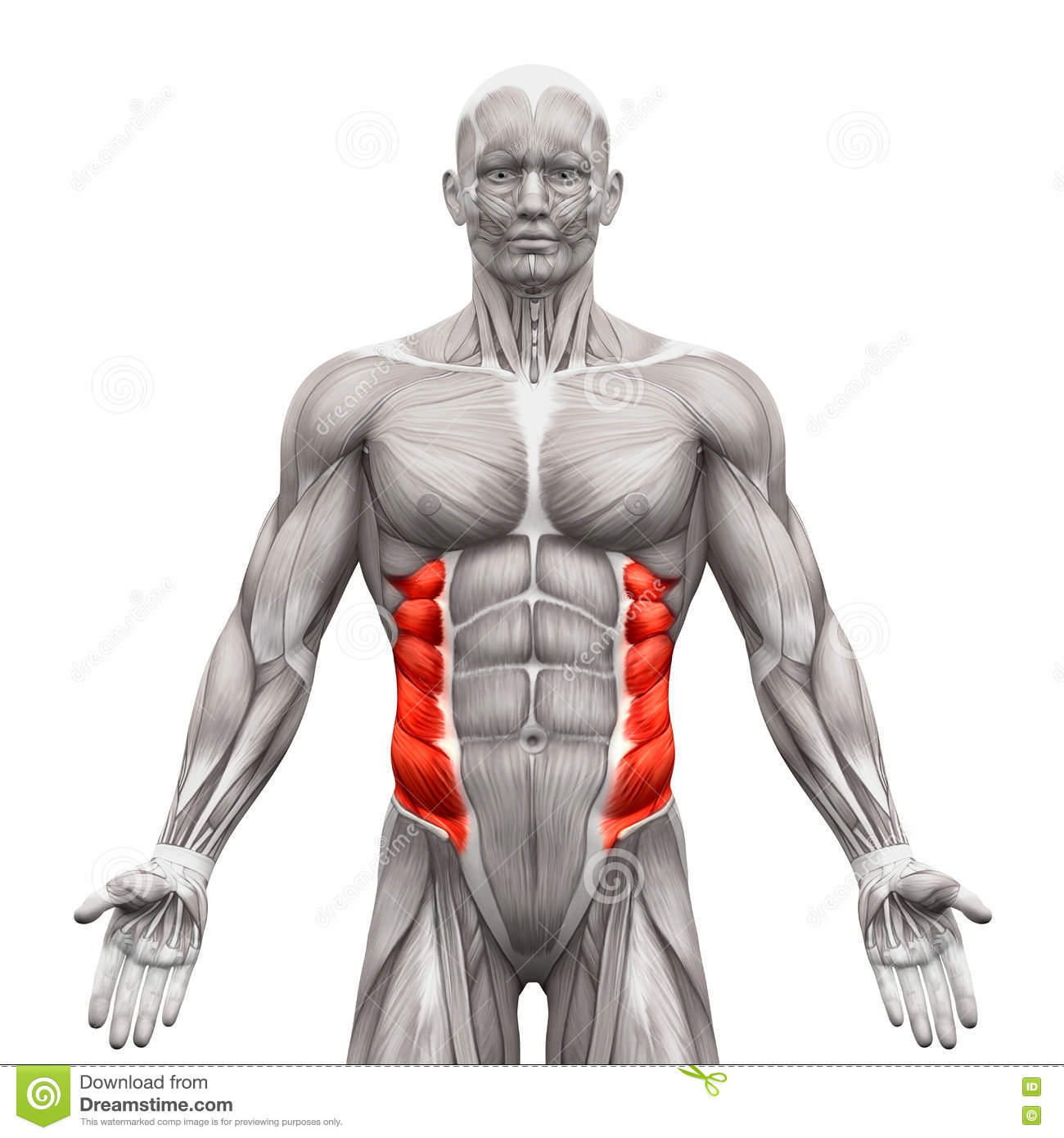 External Oblique Muscles Anatomy Muscles Isolated On White 3