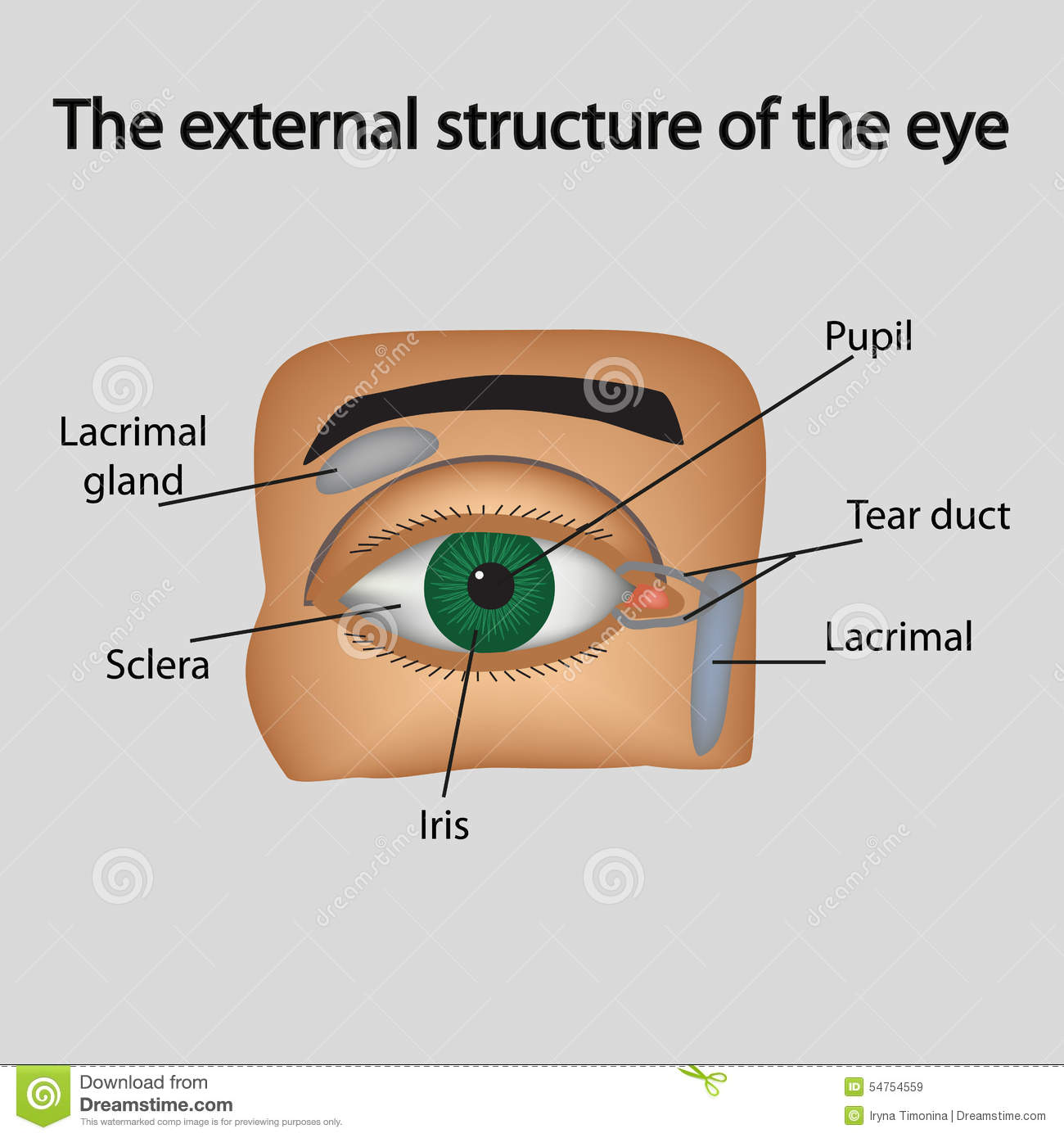 The external structure of the eye. Vector