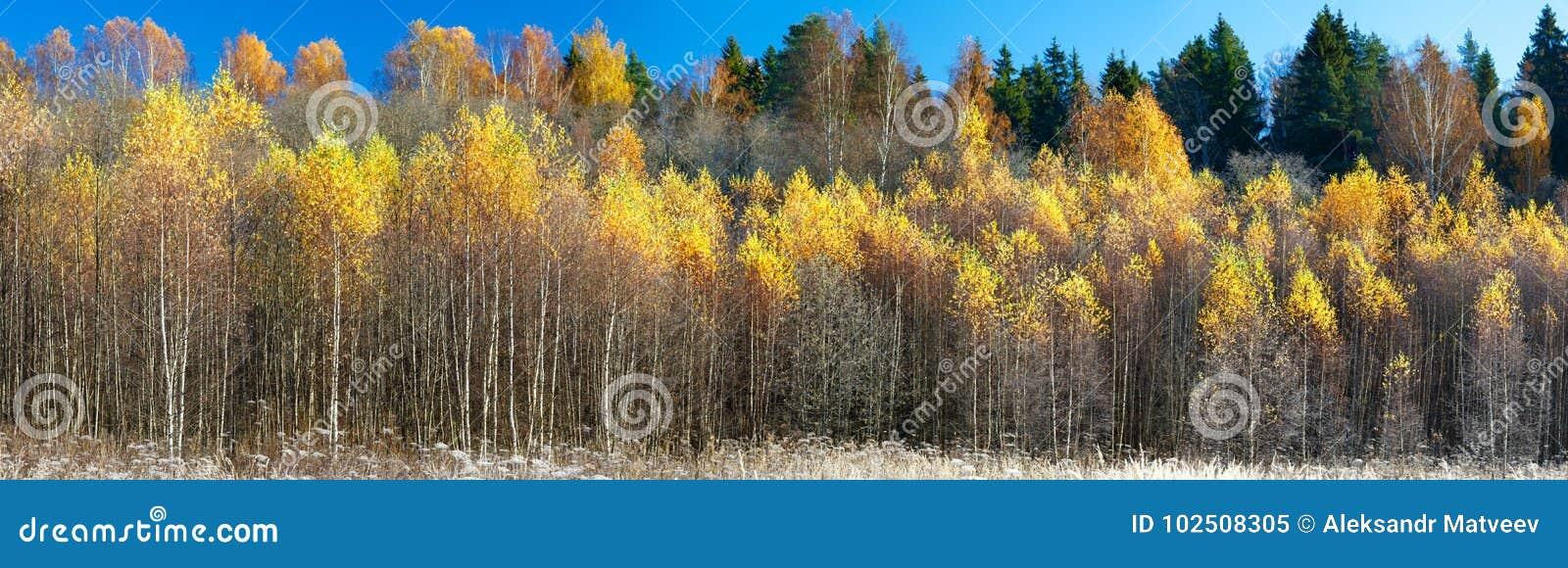 Extra bred panorama av en ursnygg skog i höst, ett sceniskt landskap med angenämt varmt solsken