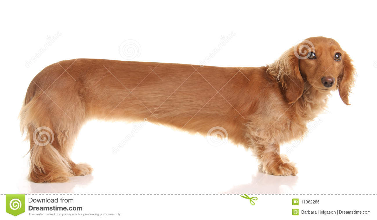 Extra Long Dachshund Stock Photo Image Of Cute Adorable