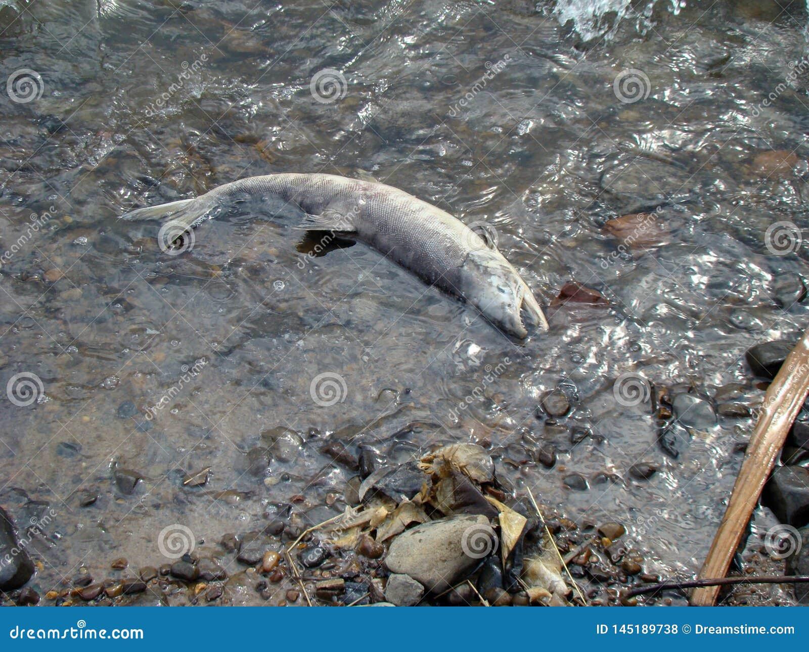 Extraction morte de poissons de caviar engendrer Poissons de rebut