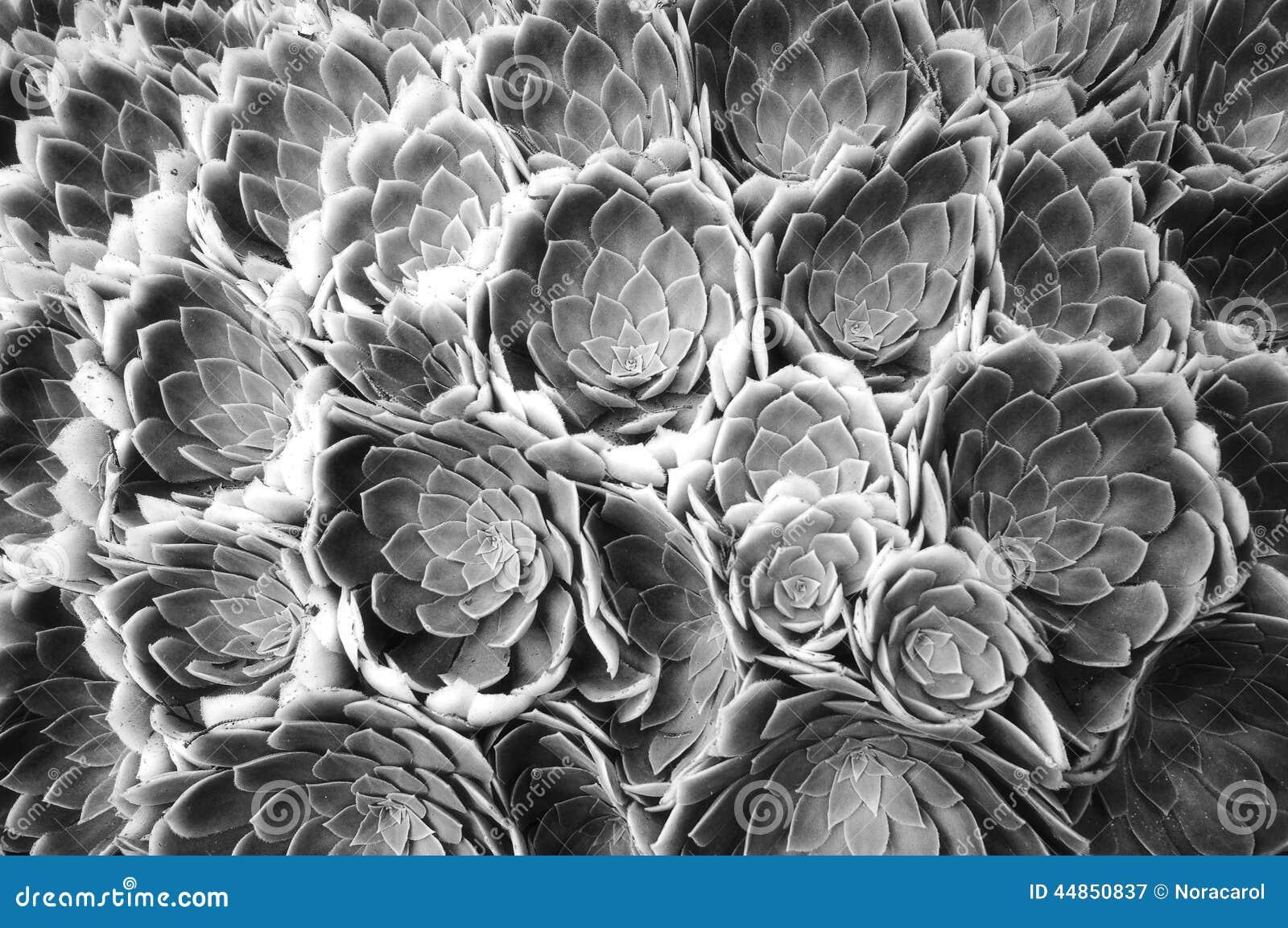 Extracto blanco y negro de la flor