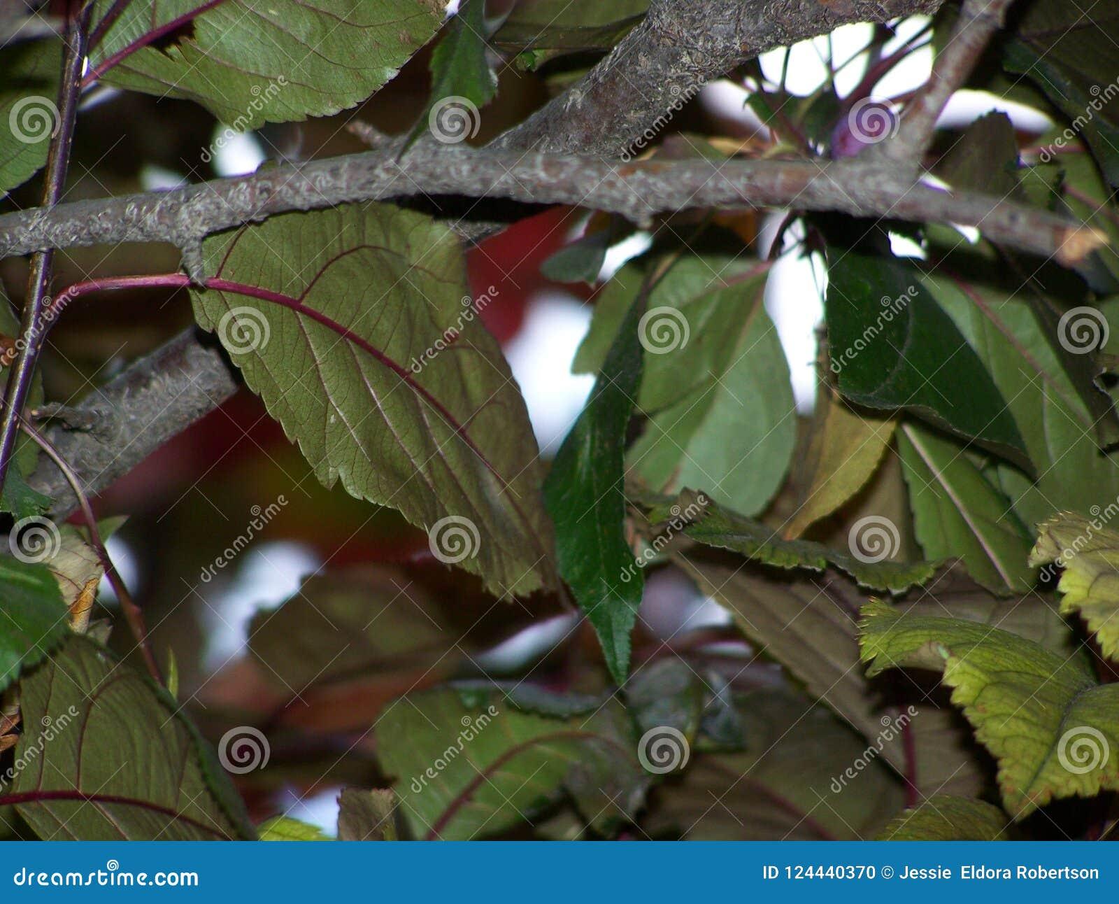 Extracto de la hoja del árbol ornamental de Crabapple