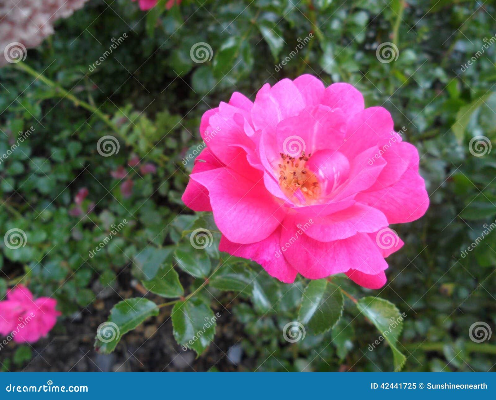 Extracto de la rosa hermosa del rosa