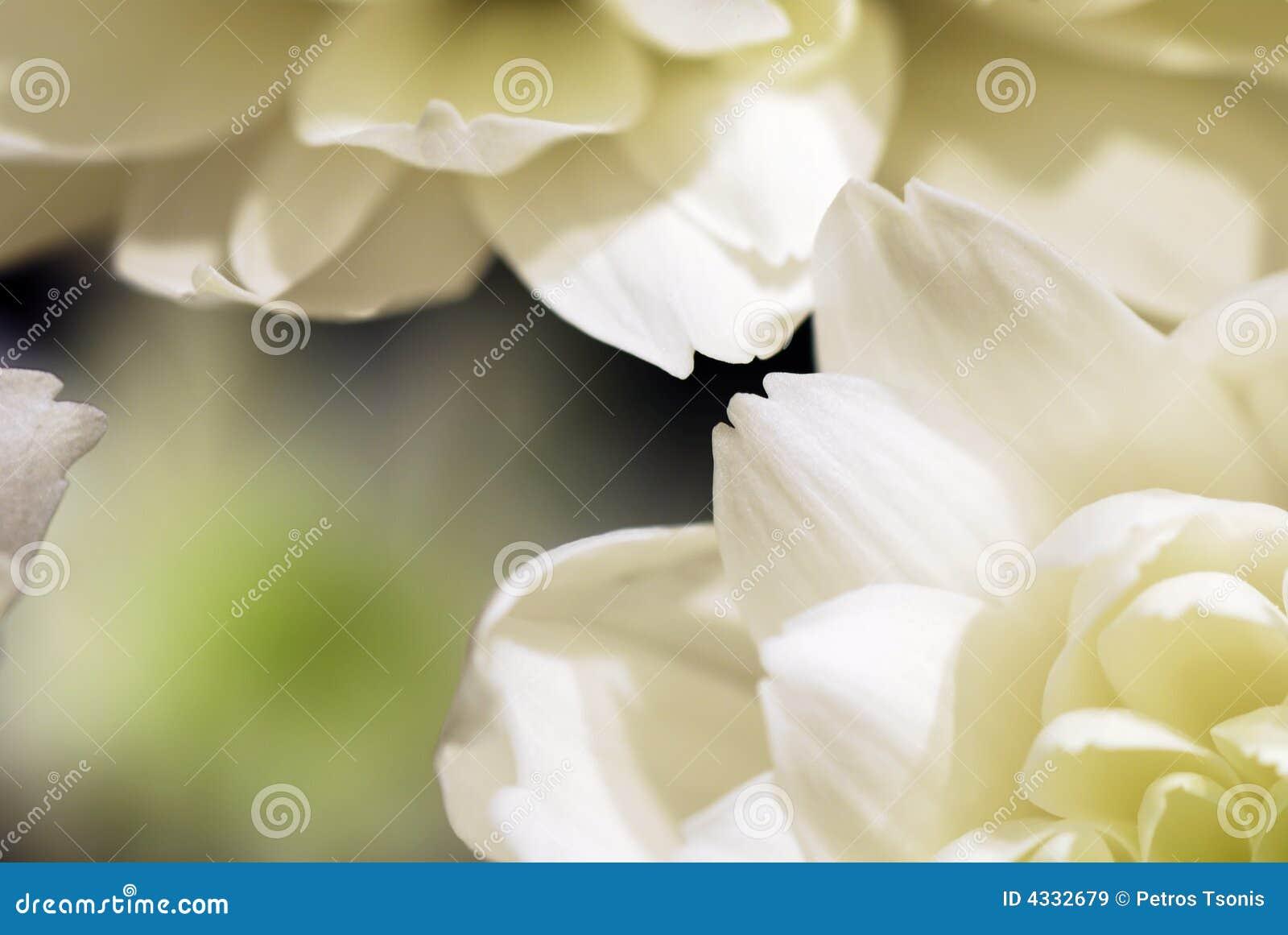Extracto de las flores blancas