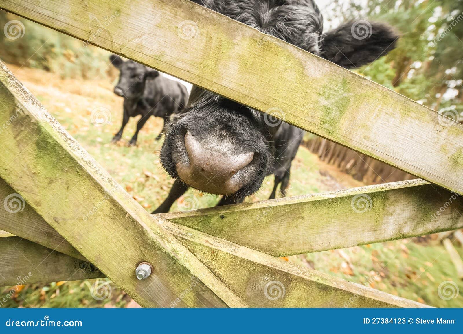 Extracto del ganado