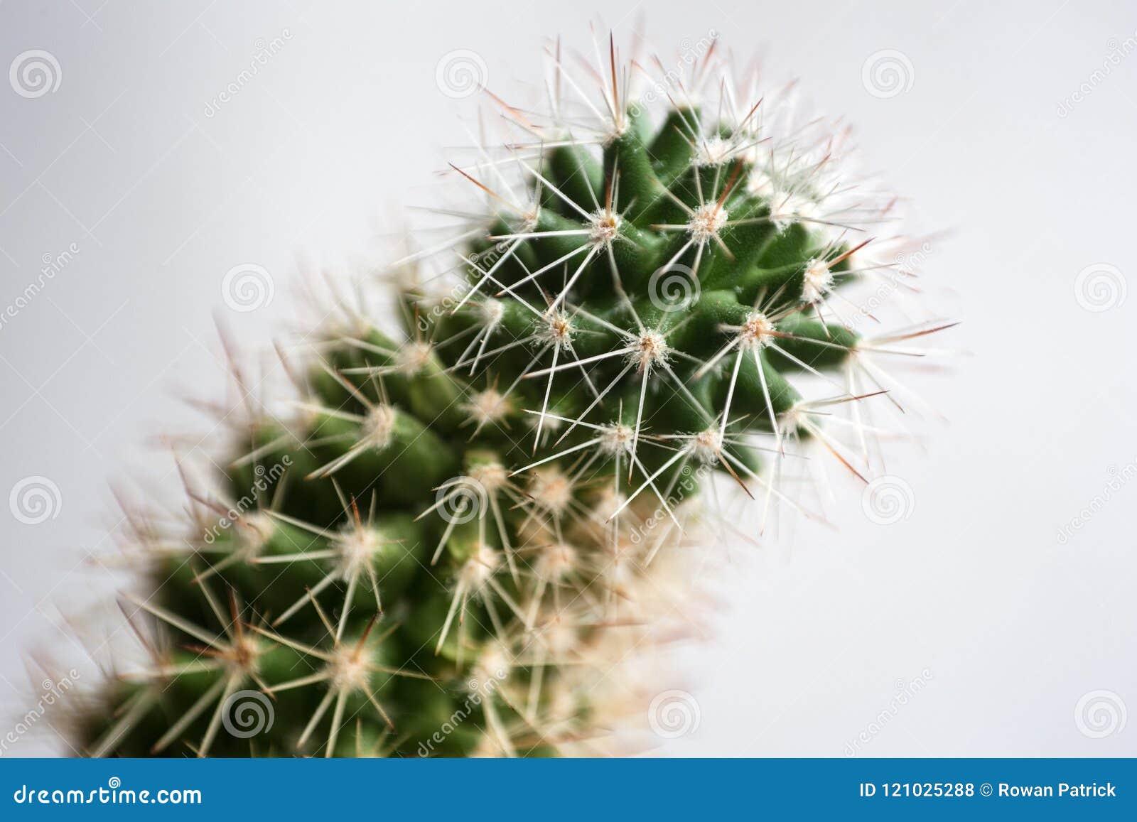 Extracto macro del cactus