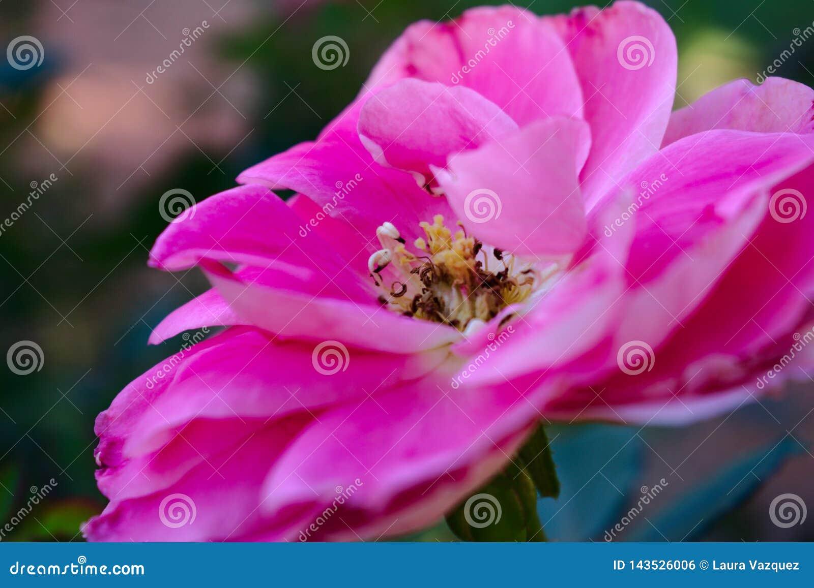 Extraordinariamente cor-de-rosa