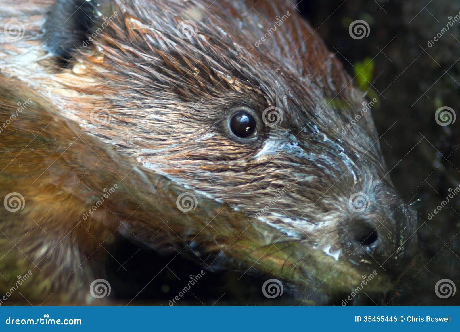 Big Eyed Rodent