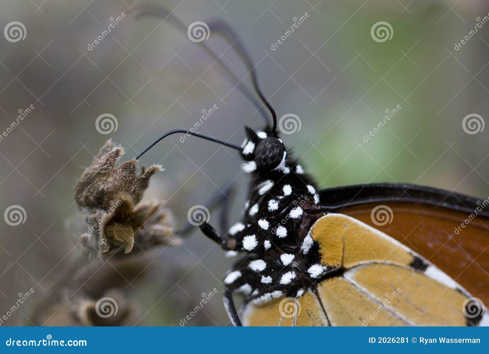Monarch butterfly body - photo#17
