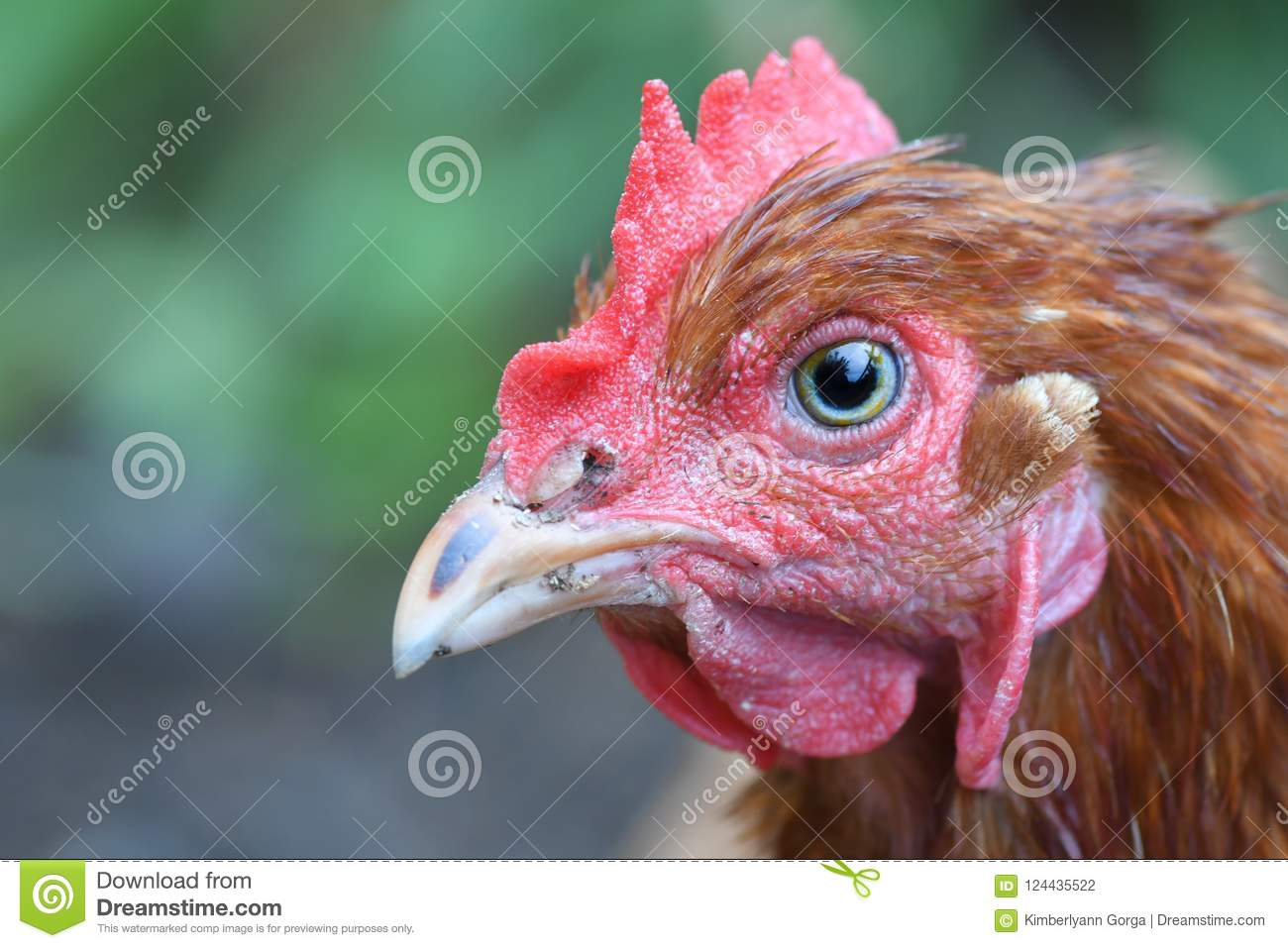 Download Extreme Close Up Of A Red Chicken Stock Photo - Image of close, waddles: 124435522