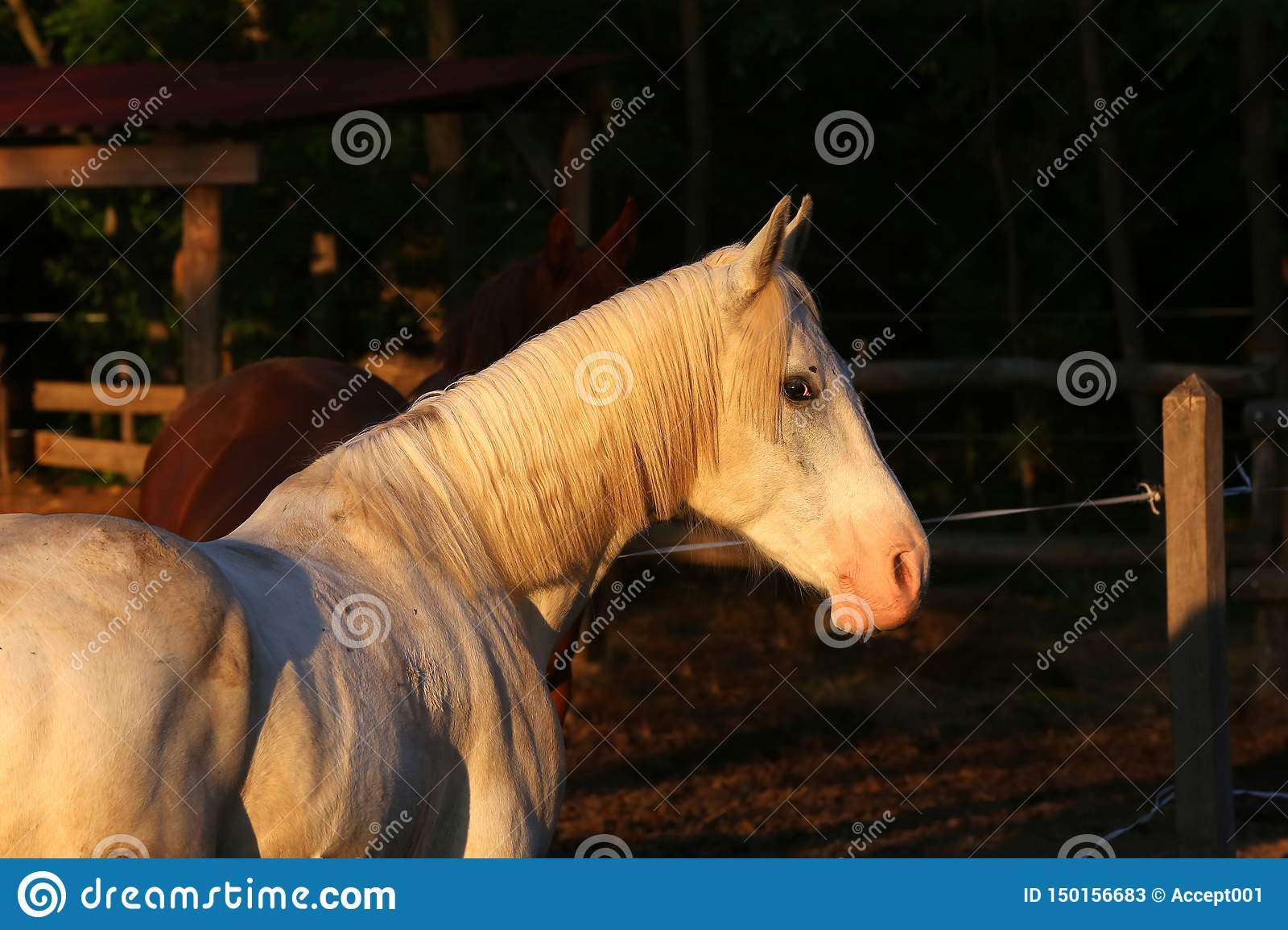 Extreme closeup of beautiful young grey colored arabian mare against natural background at sunset golden hour
