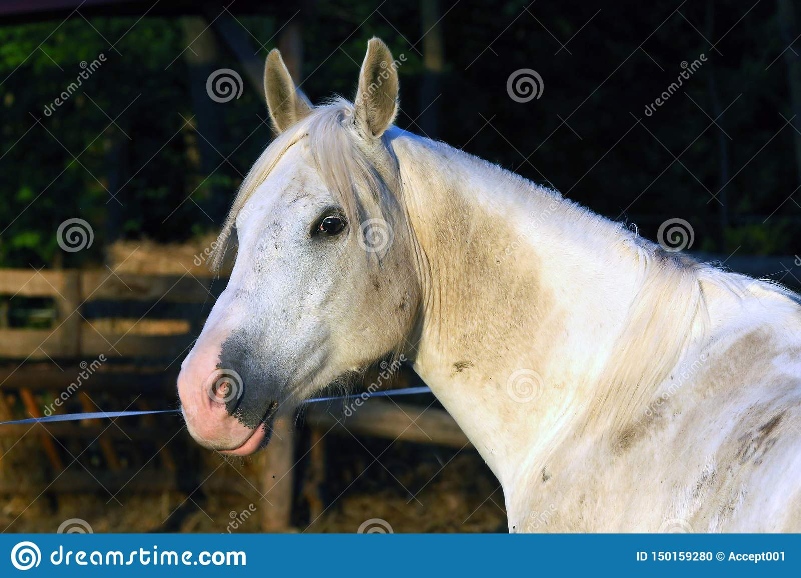 Extreme Closeup Of Beautiful Young Grey Colored Arabian Mare Against Natural Background At Sunset Golden Hour Stock Photo Image Of Breed Life 150159280