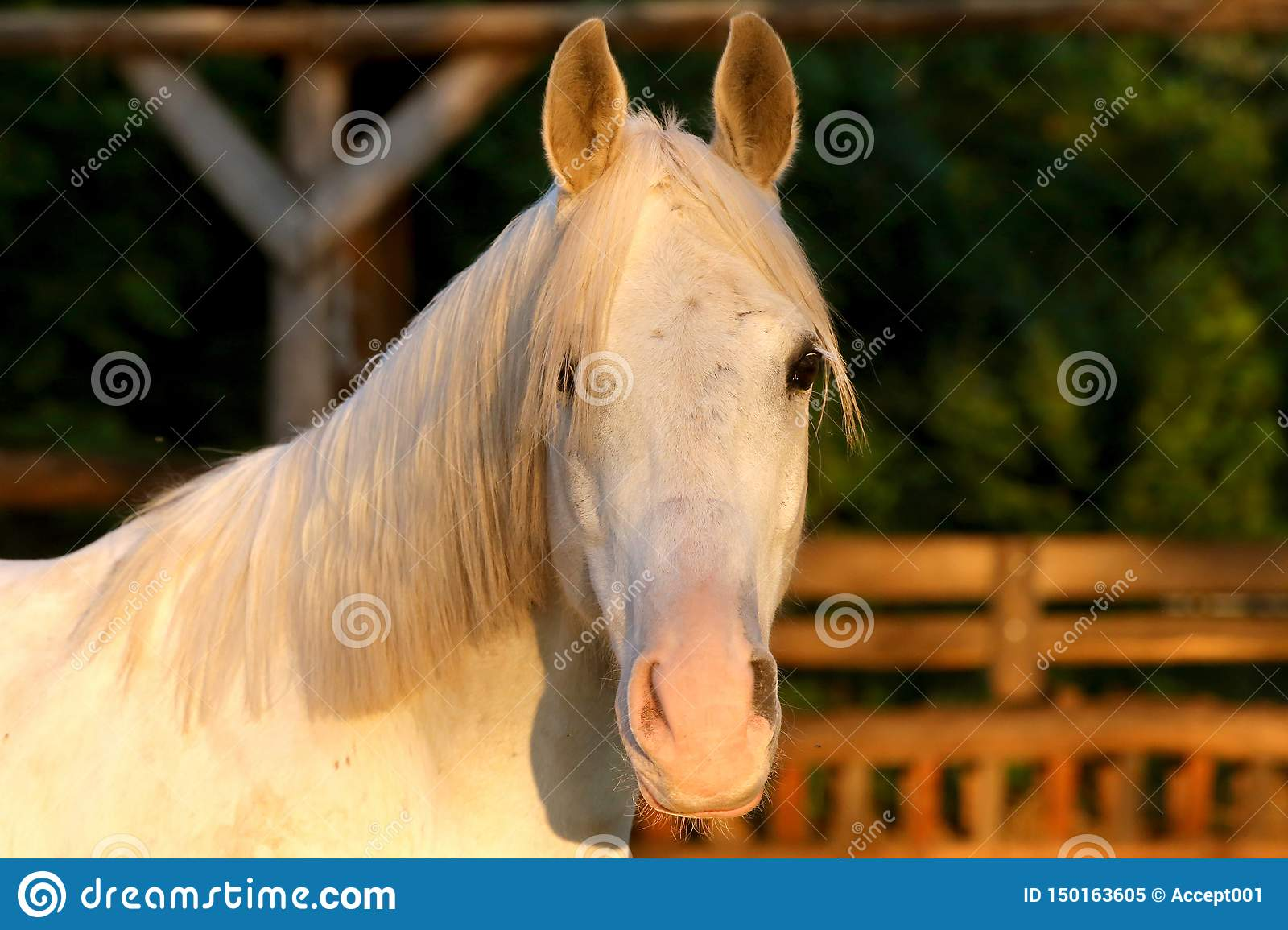 Extreme Closeup Of Beautiful Young Grey Colored Arabian Mare Against Natural Background At Sunset Golden Hour Stock Image Image Of Farm Arab 150163605