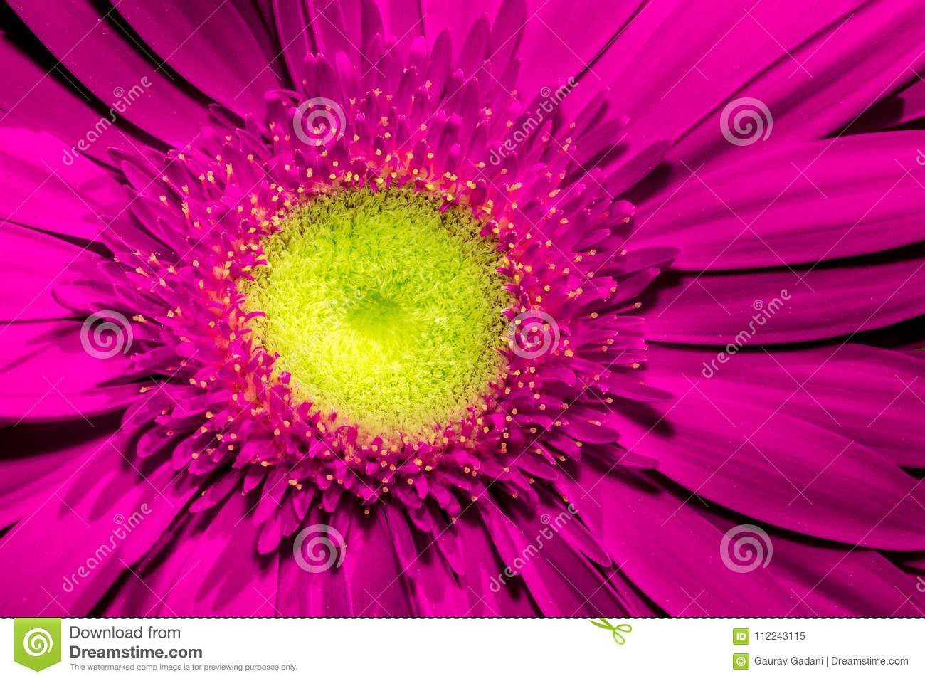 Close up of Violet gerbera flower with yellow centre and beautiful soft petals