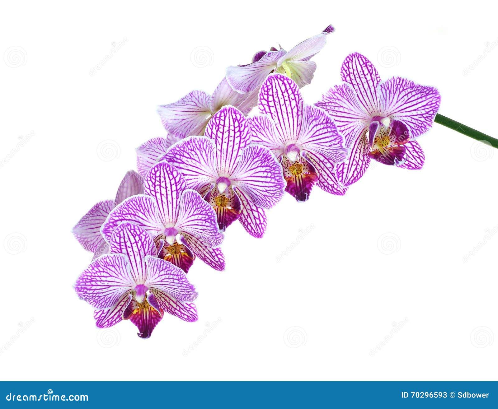 Extreme Diepte van Gebiedsfoto van Orchideebloei die op Wit wordt geïsoleerd,