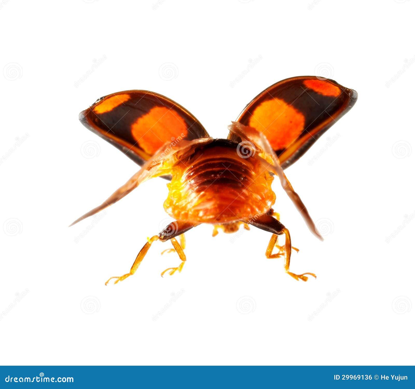 Ladybug Flying Macro Royalty Free Stock Image
