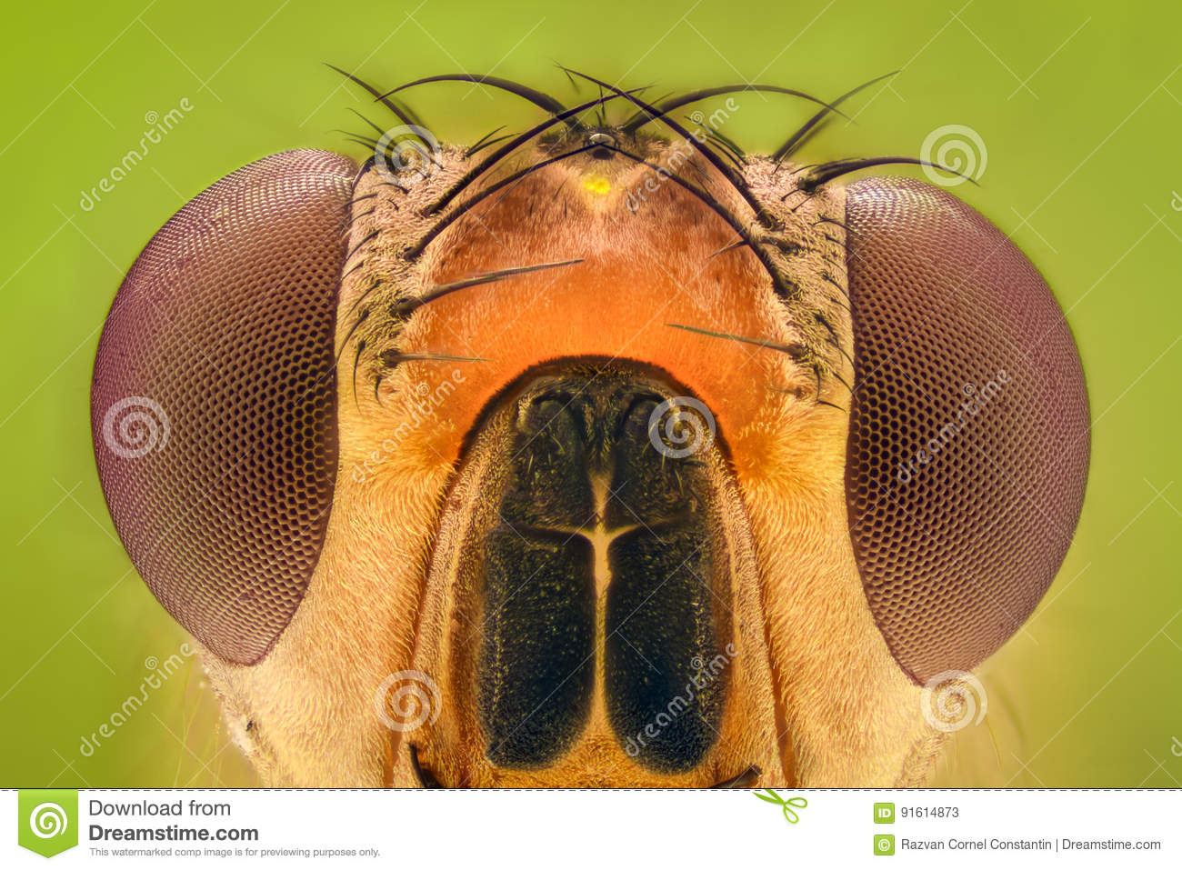 Extreme Magnification - Fruit Fly Stock Image - Image of hair ...