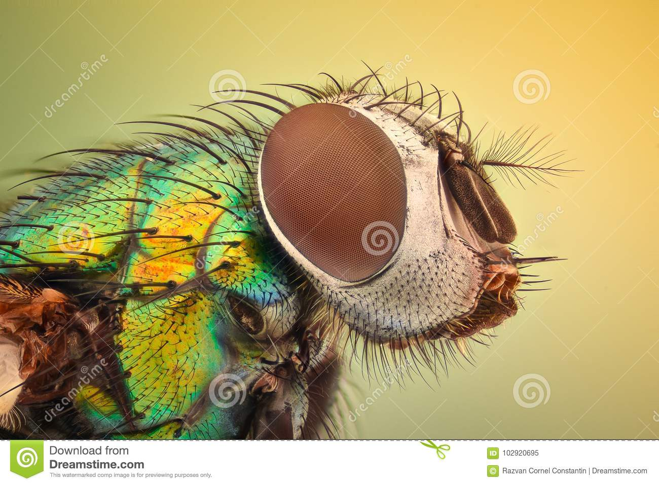 Extreme Magnification - House Fly Stock Image - Image of microscope ...