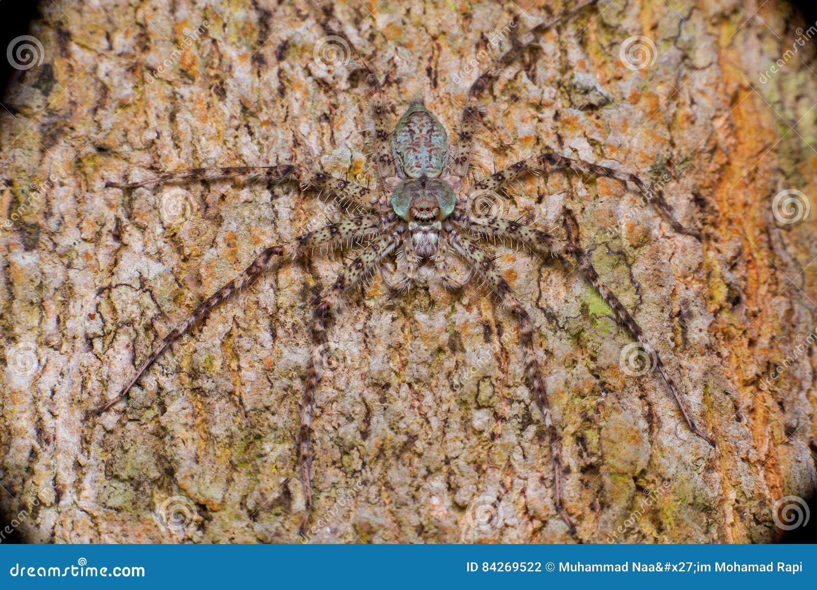 Extreme und nahe Ansicht von Lichen Huntsman Spider Pandercetes zart