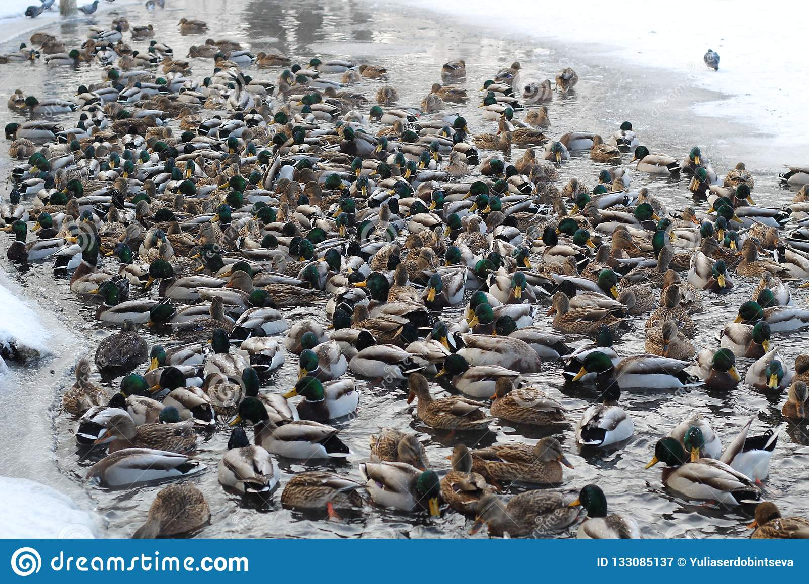 Extremely many ducks swim in the freezing pond in search of food.