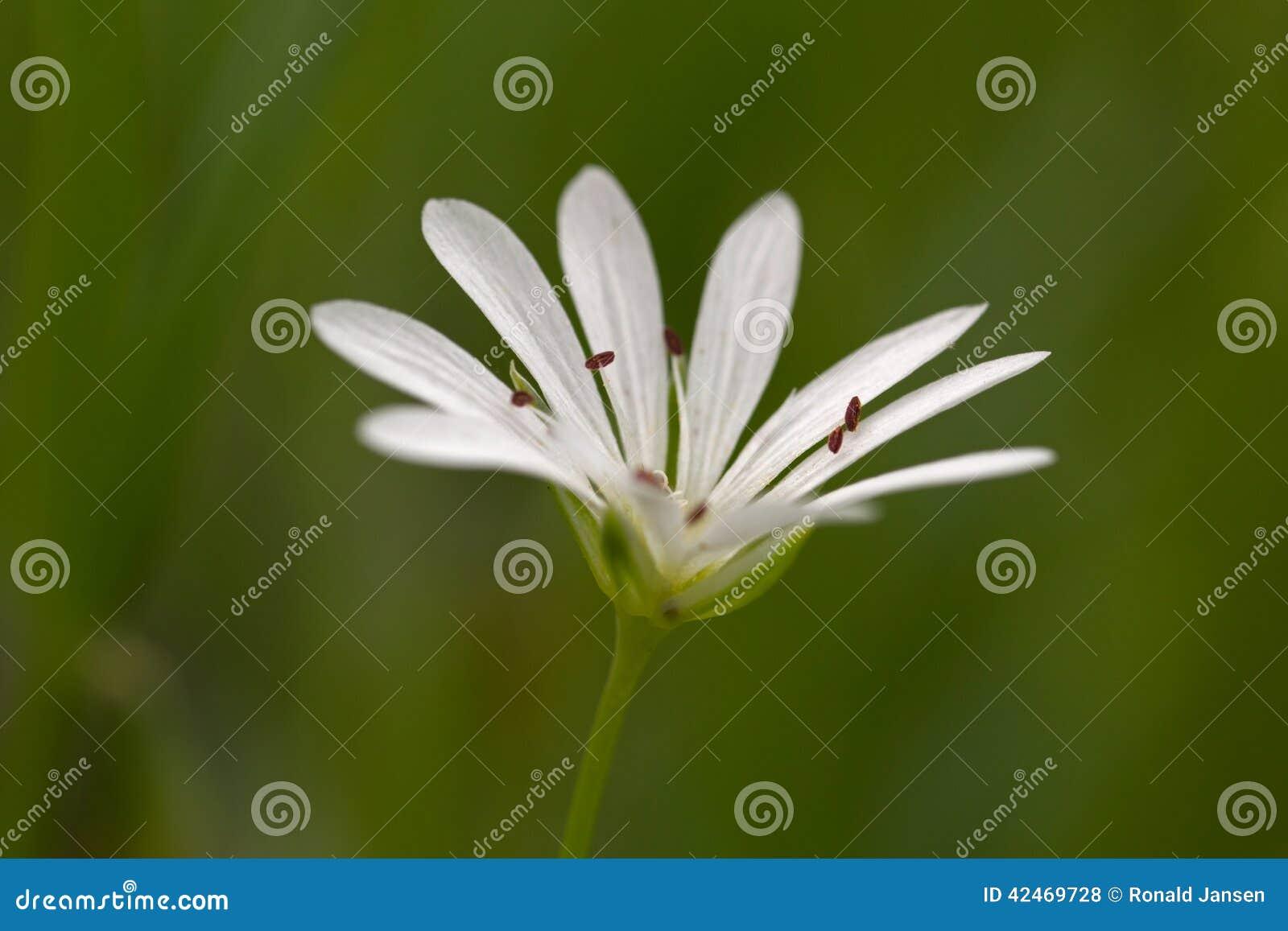 Extremes Makrofoto der kleinen weißen Blume