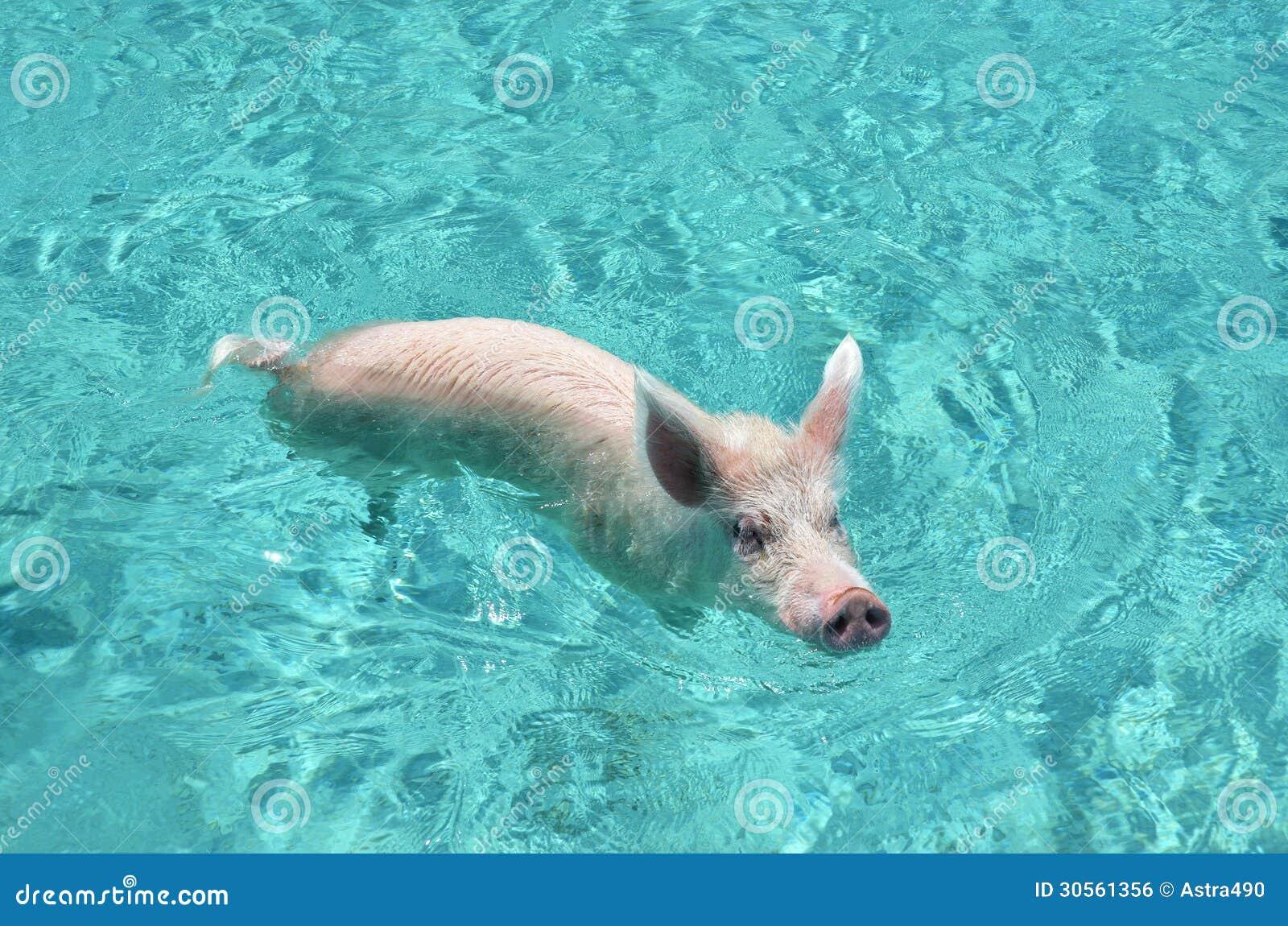 exuma岩礁,巴哈马游泳猪图片