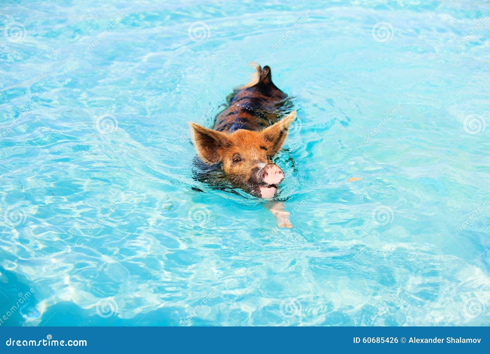 exumas游泳猪图片