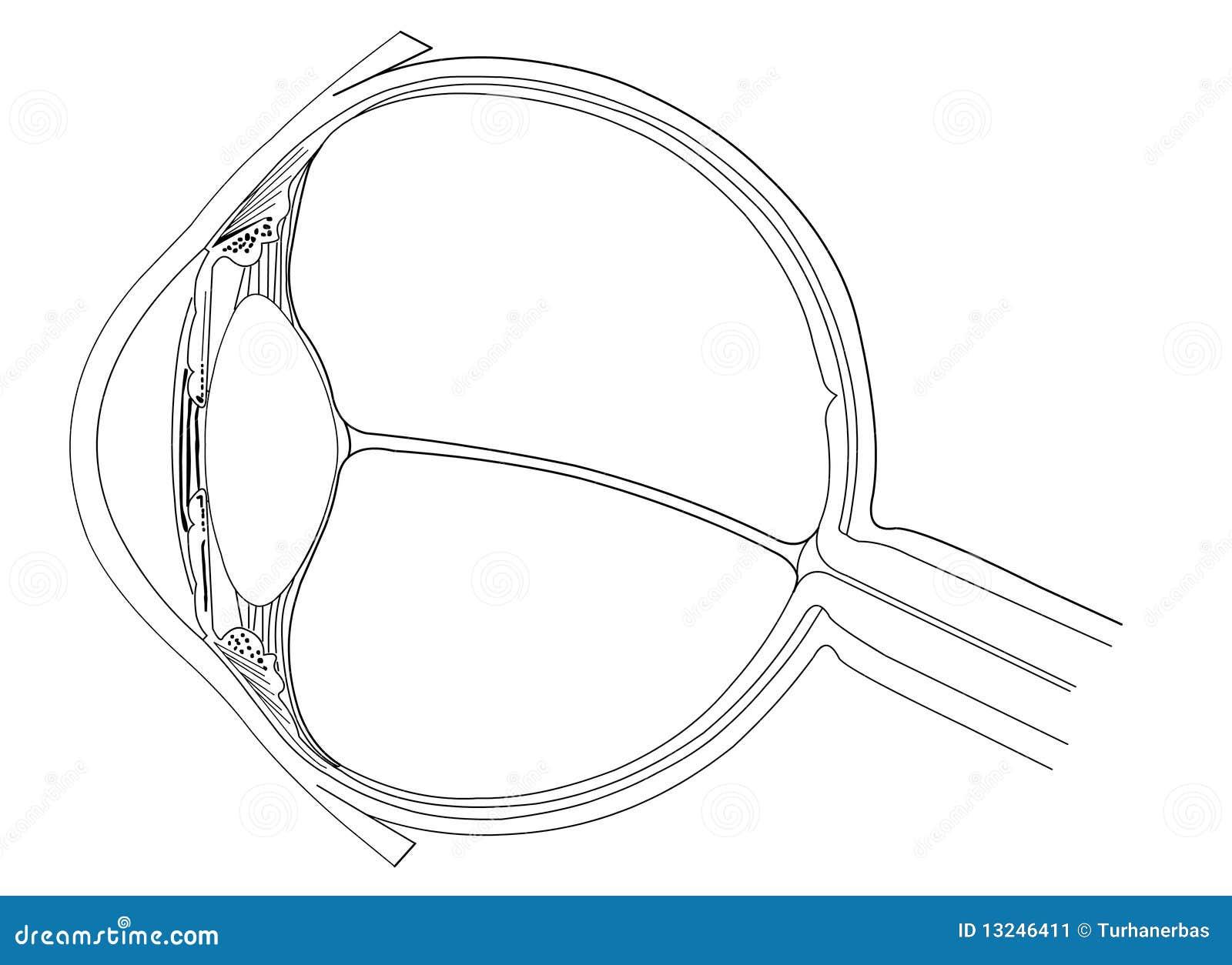 eye anatomy stock image