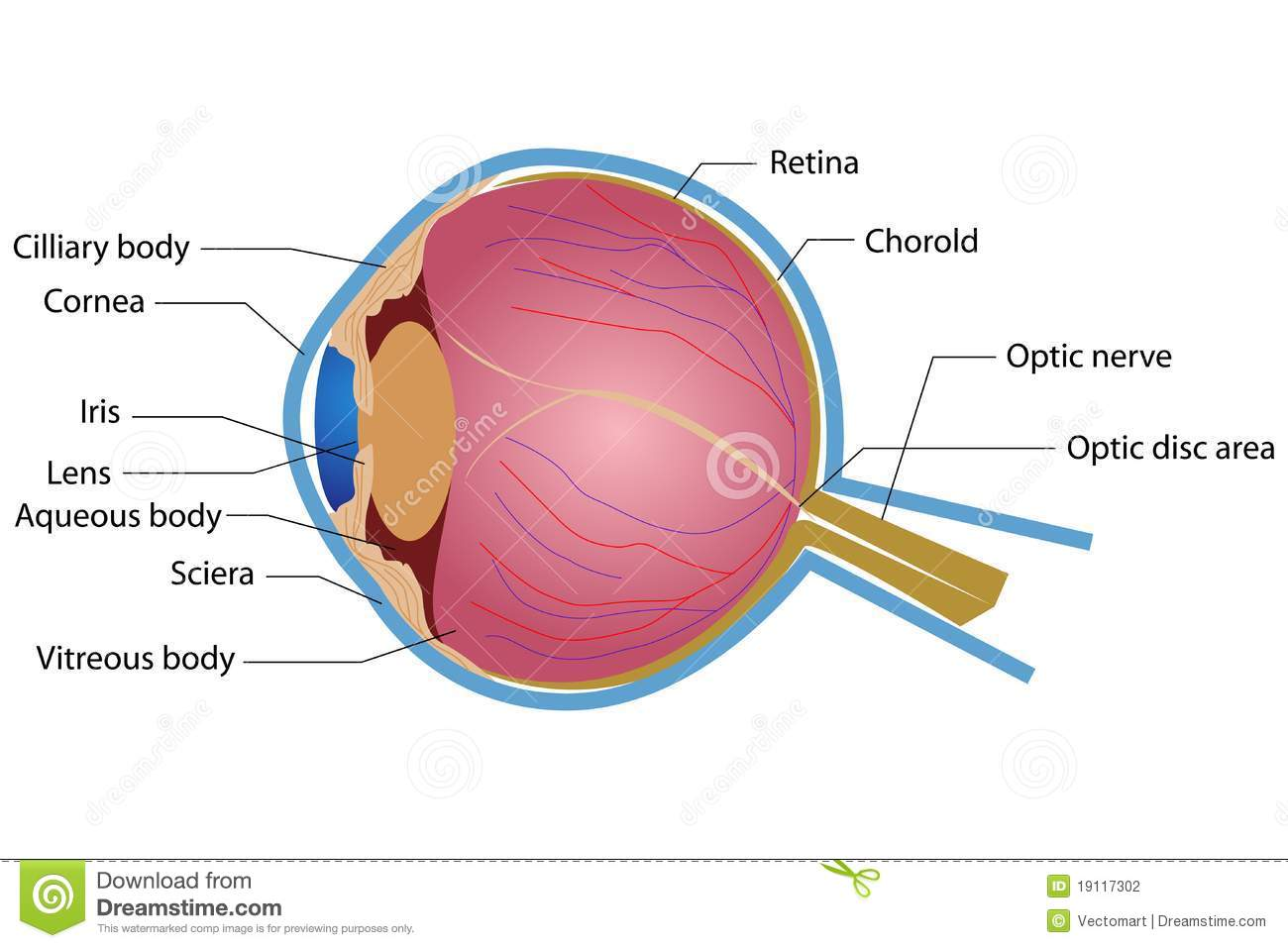 Eye Anatomy stock vector. Illustration of pupil, biology - 19117302