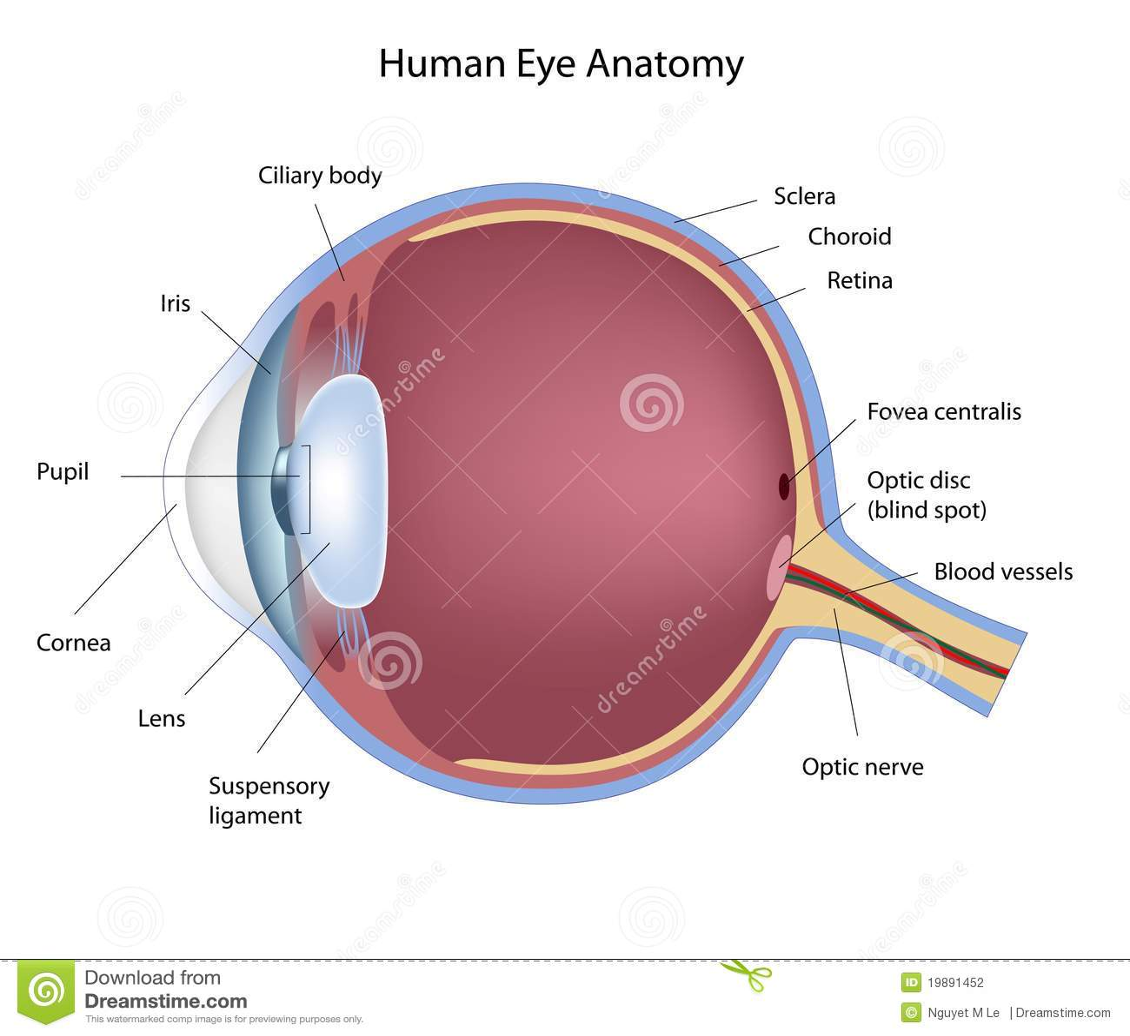 Eye anatomy stock vector. Illustration of optician, anatomy - 19891452