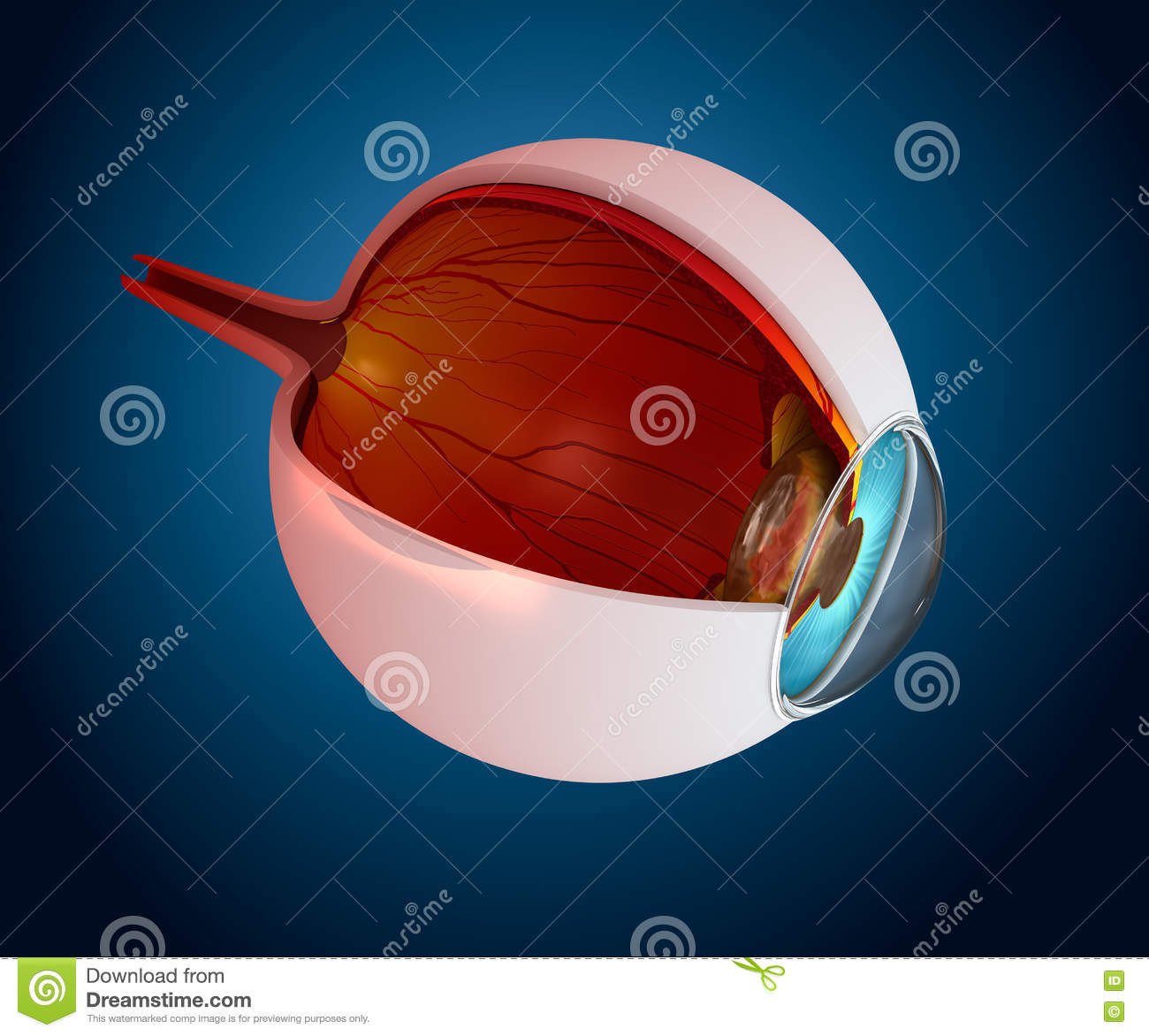 Eye anatomy - inner structure