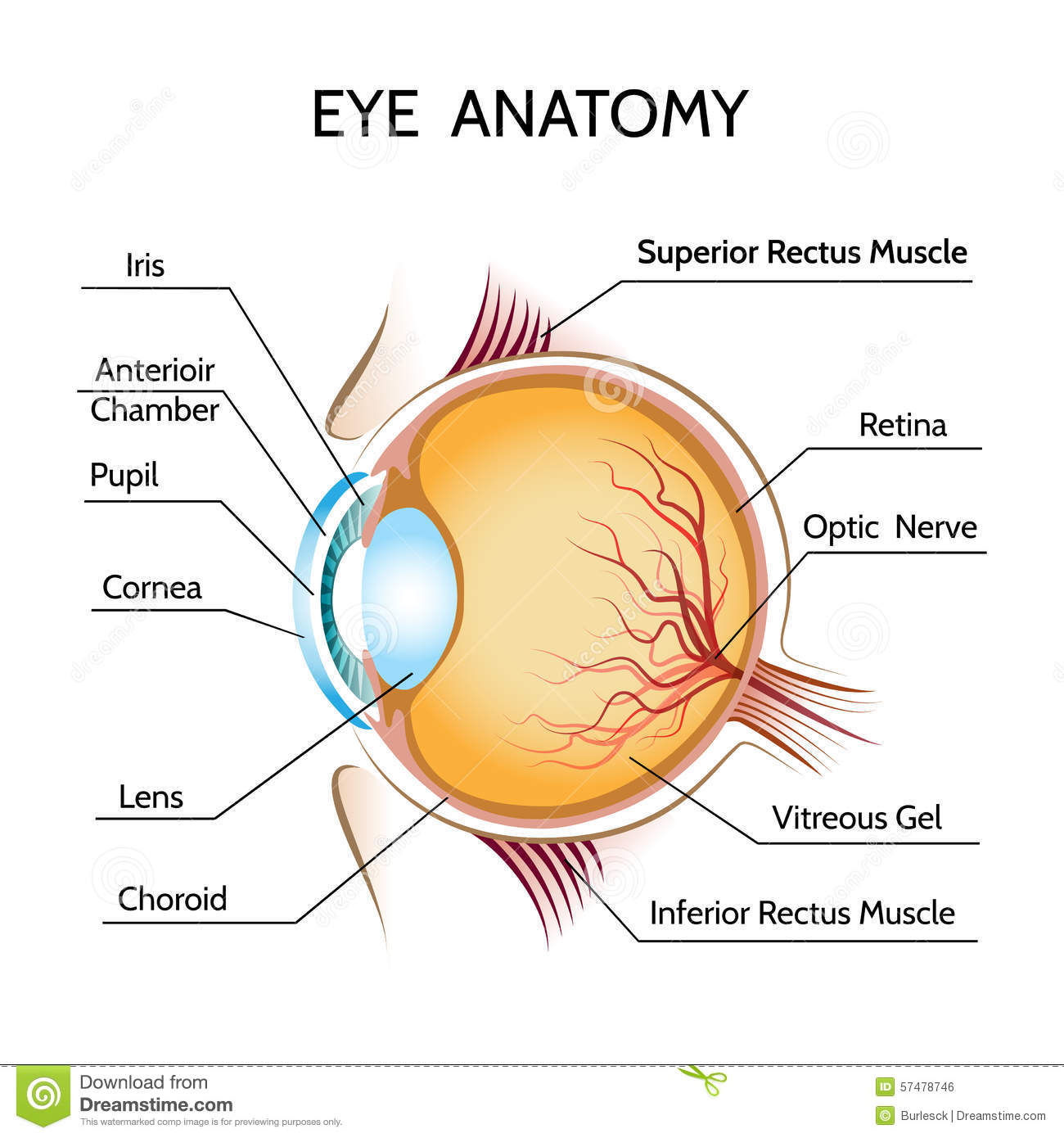 Eye anatomy stock vector. Illustration of graphic, medicine - 57478746