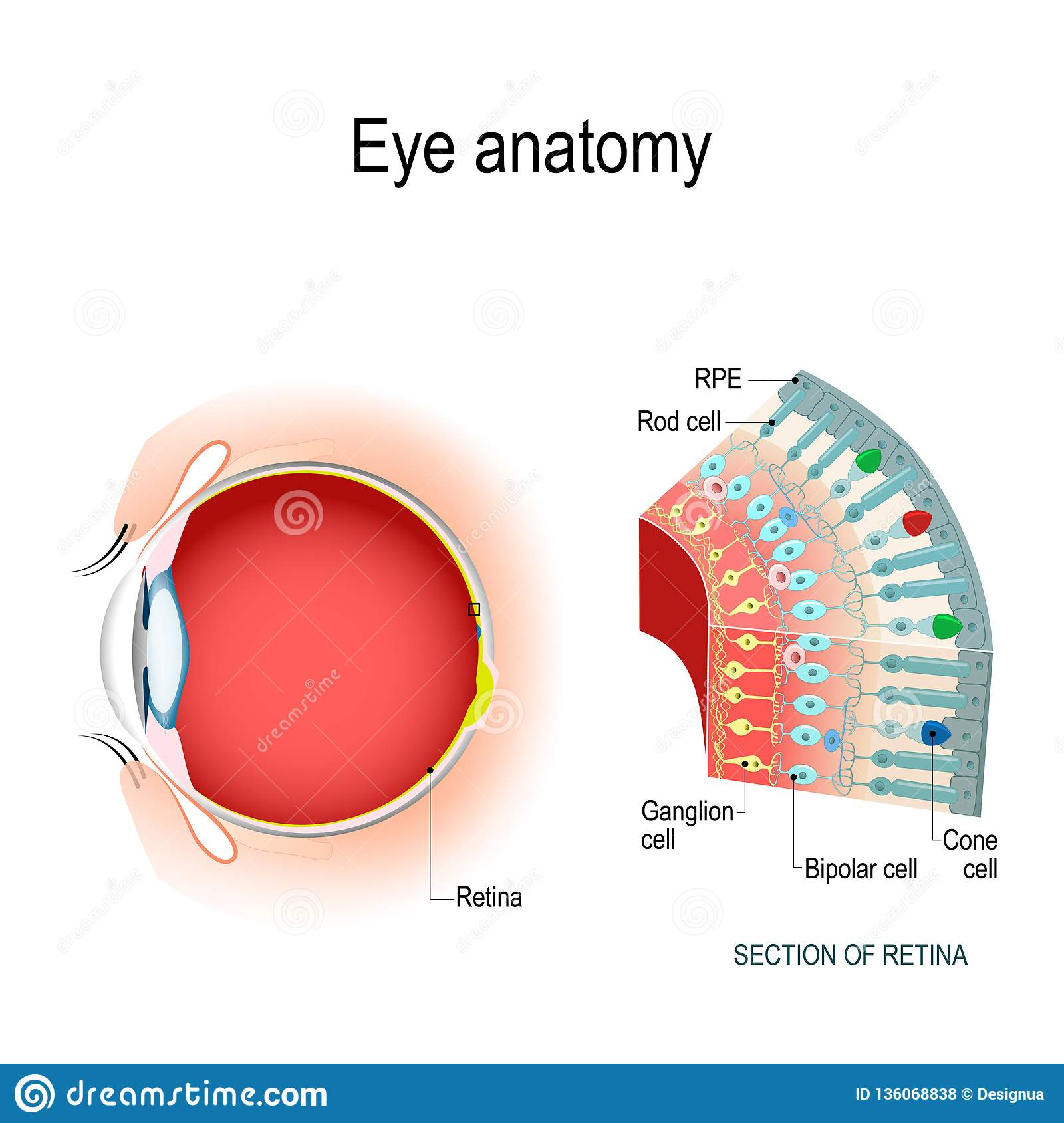 Eye Anatomy  Rod Cells And Cone Cells Stock Vector