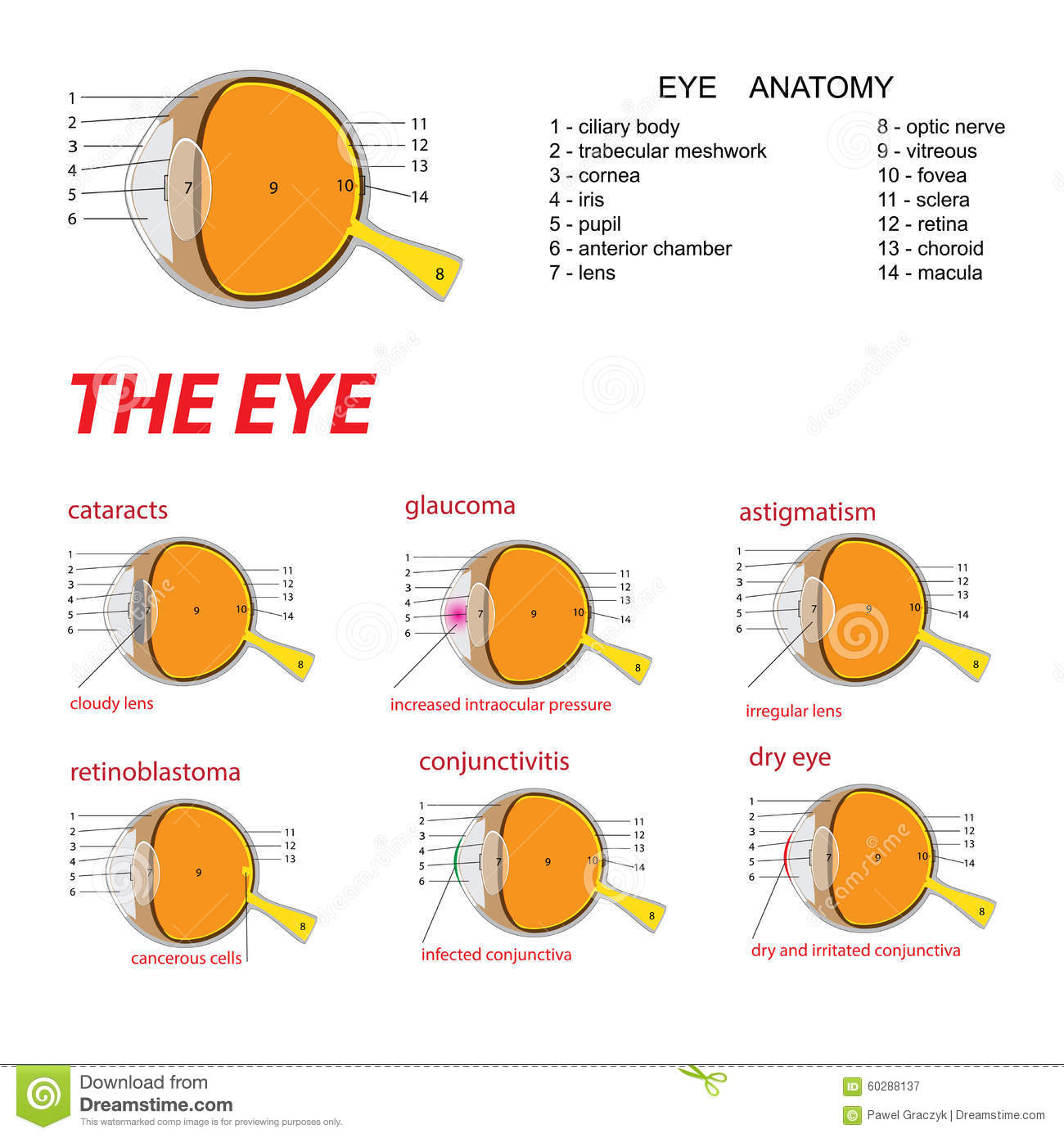 The Eye Anatomy Stock Vector - Image: 60288137