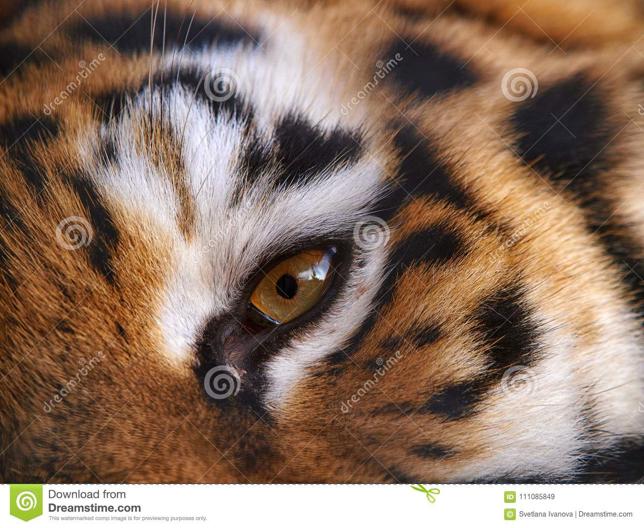 Eye of the fierce tiger