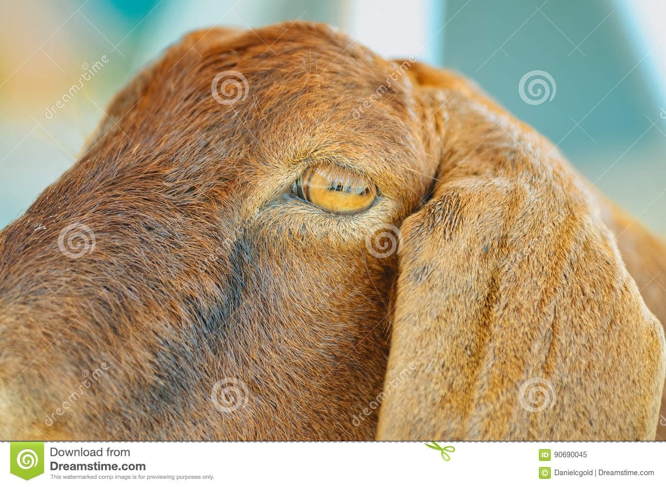 the eye of a goat stock image image of hairy desktop 90690045