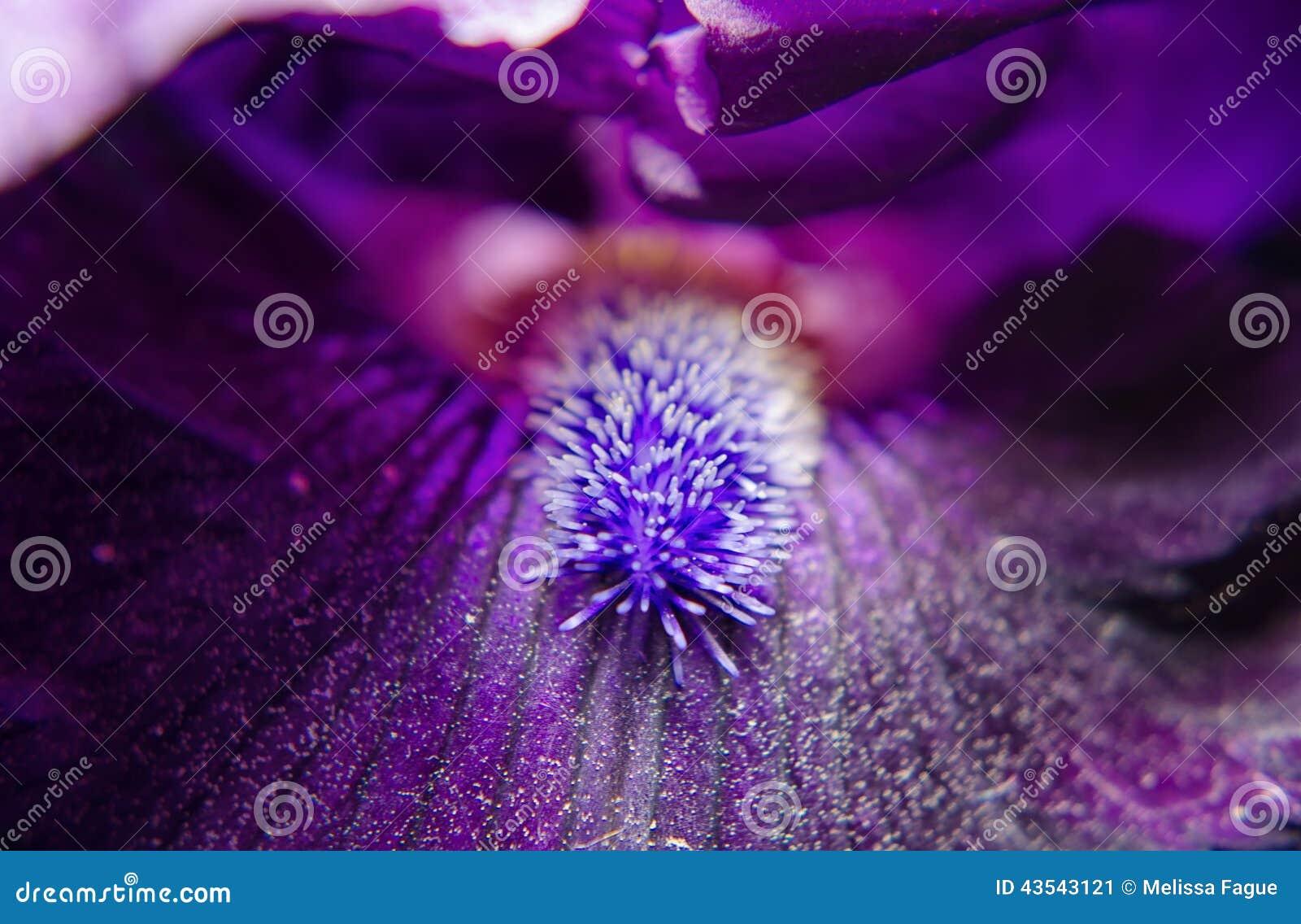 Eye Of Iris Stock Image Image Of Flower Nature Flowers 43543121