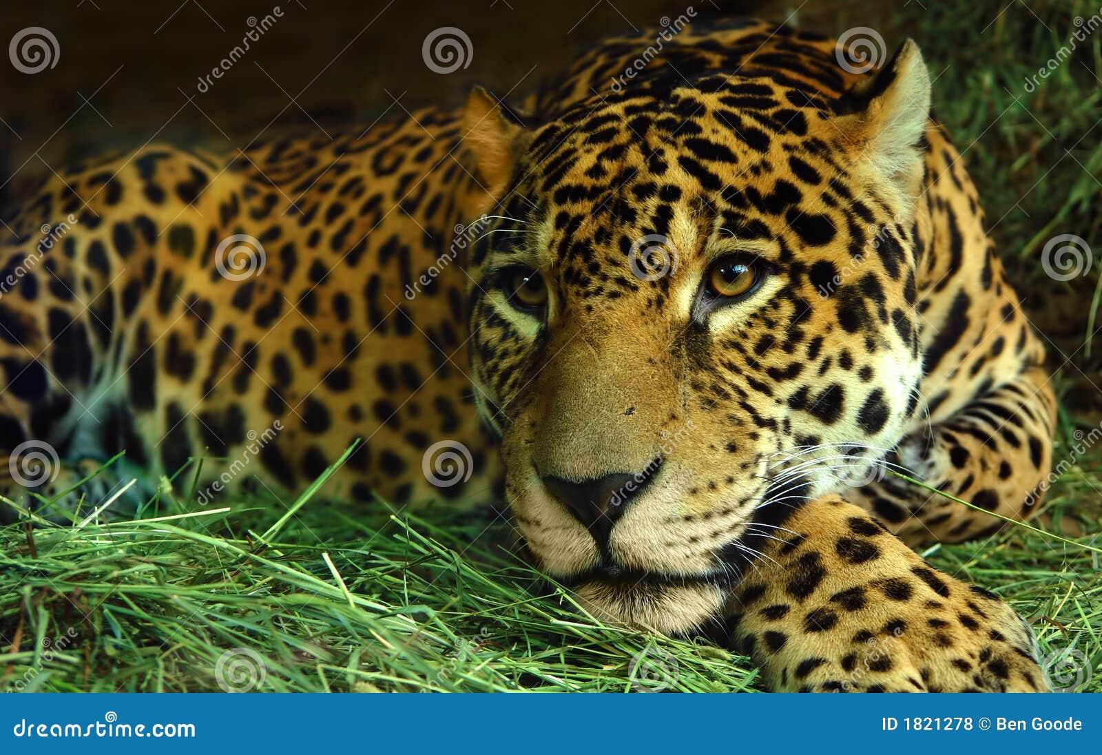eye of the jaguar stock photo image of eyes african 1821278. Black Bedroom Furniture Sets. Home Design Ideas