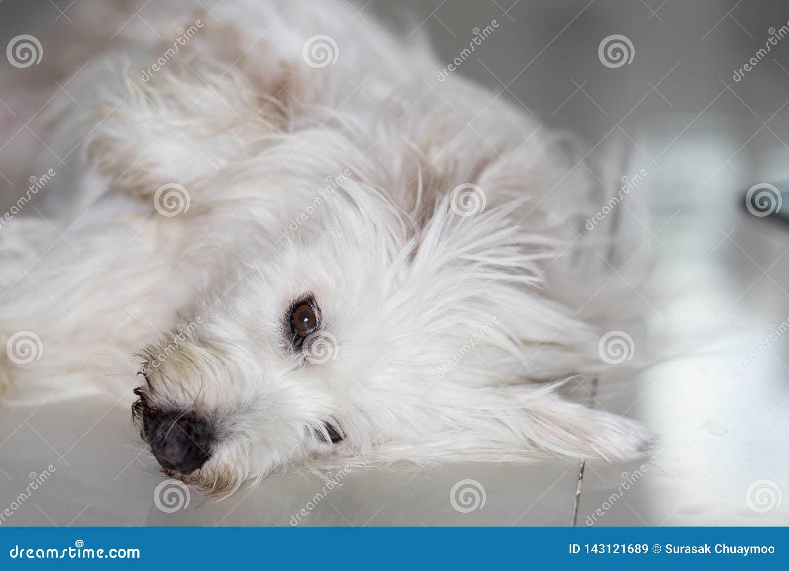 Eye of poodle dog is sleepy