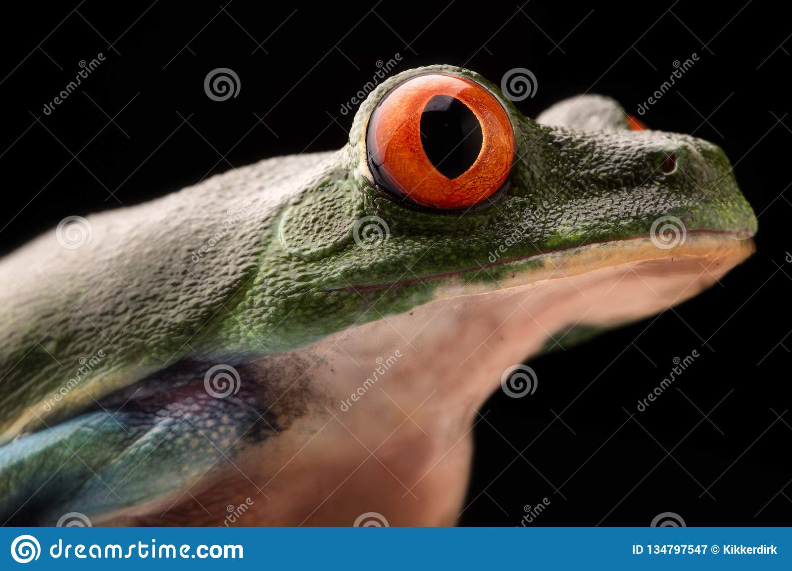 Eye of the red eyed tree frog