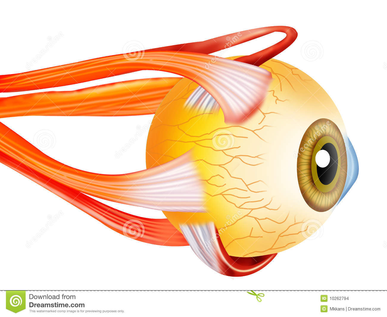 Eye structure stock illustration. Illustration of refract - 10262794