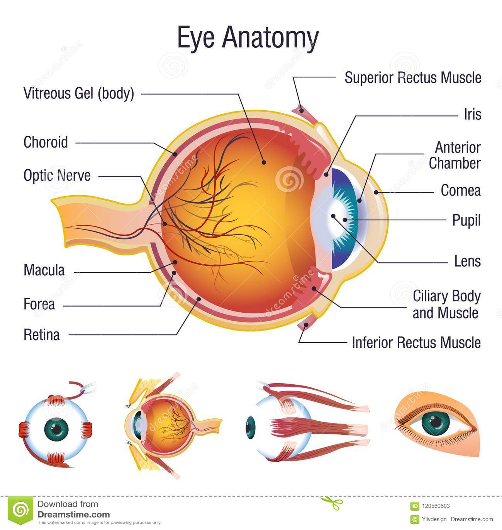 Eyeball Medical Anatomy Icons Set, Cartoon Style Stock Vector ...
