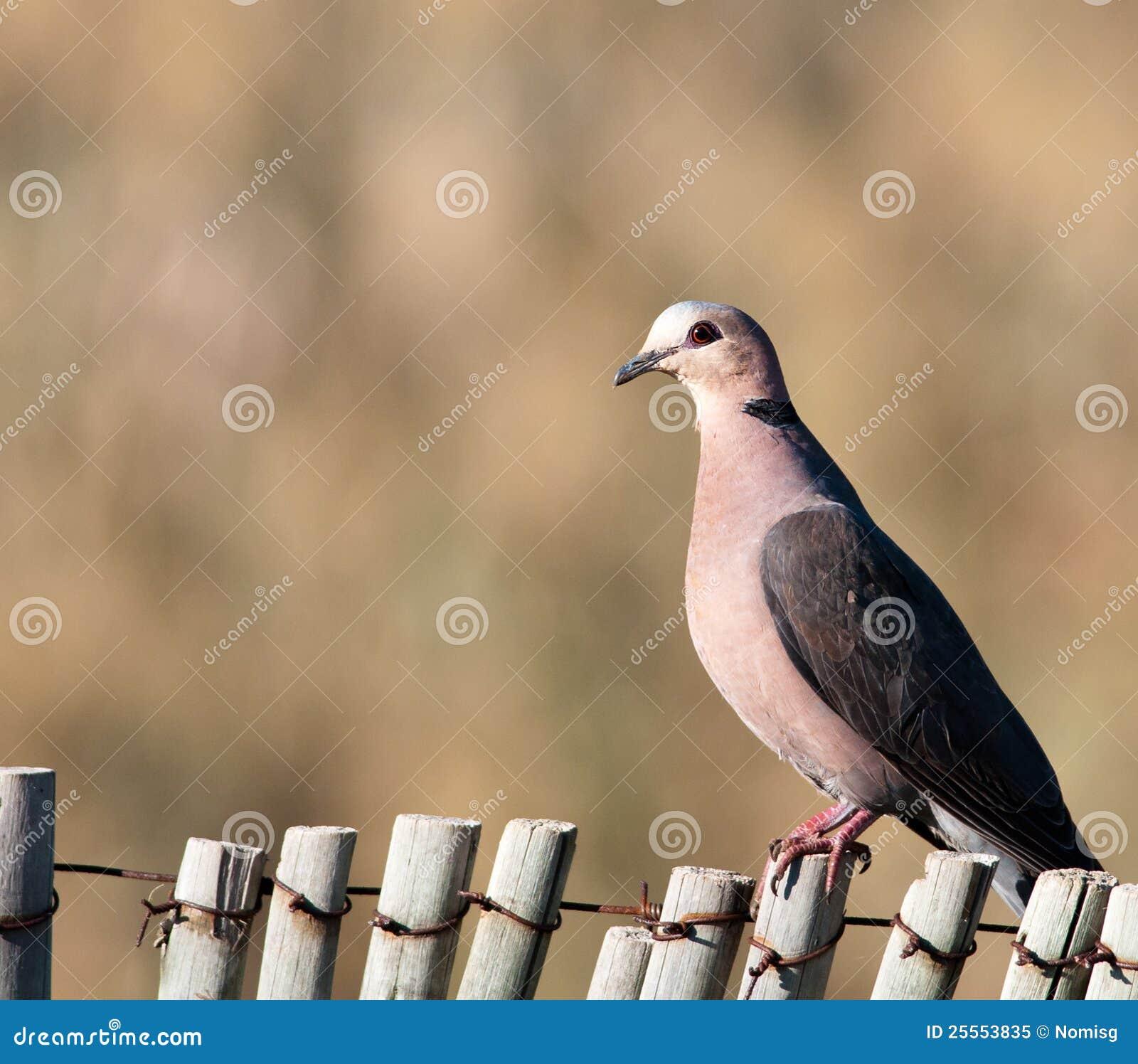 Eyed dove красный цвет загородки