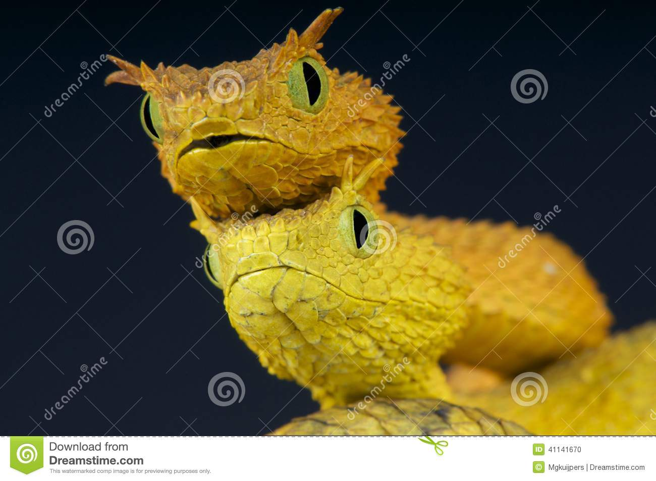 Eyelash Bush Snakes / Atheris Ceratophora Stock Photo