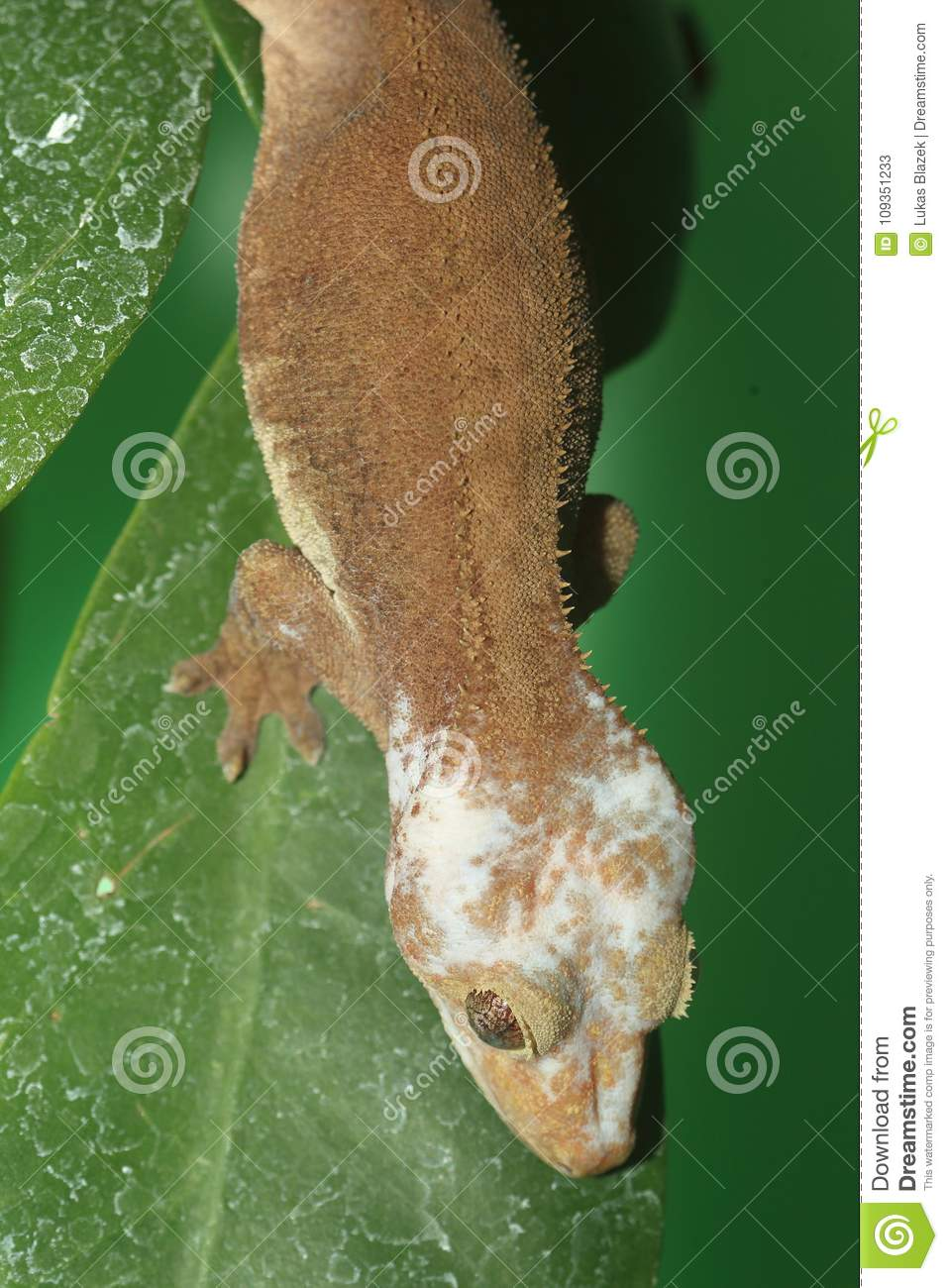 Eyelash Gecko Stock Image Image Of Animal Guichenot 109351233